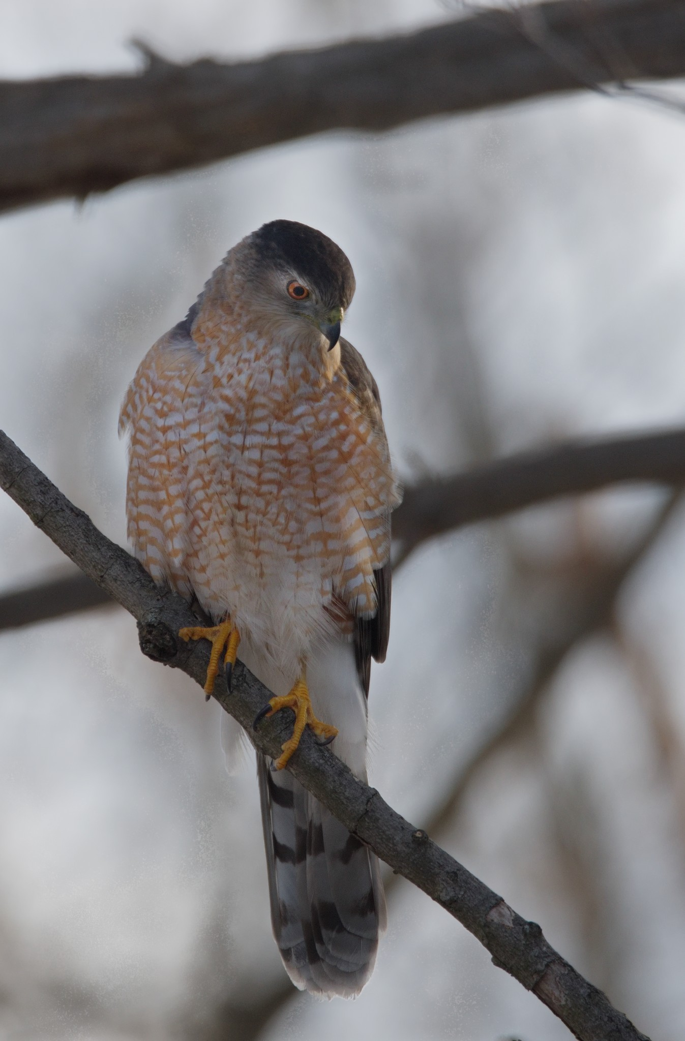 Sharp-Shinned Hawk - Taken in the Wilds of Pennsylvania by Buckmaster