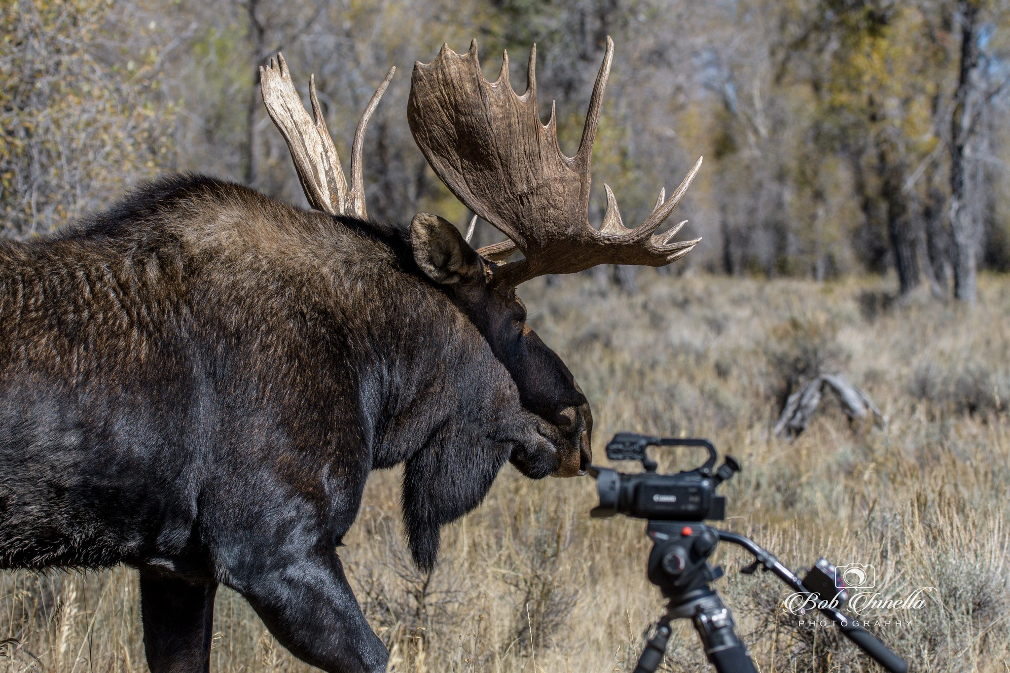 Moose_Camera - I had to retreat back as this Bull Moose wanted My Space, Wyoming 2018 by Buckmaster