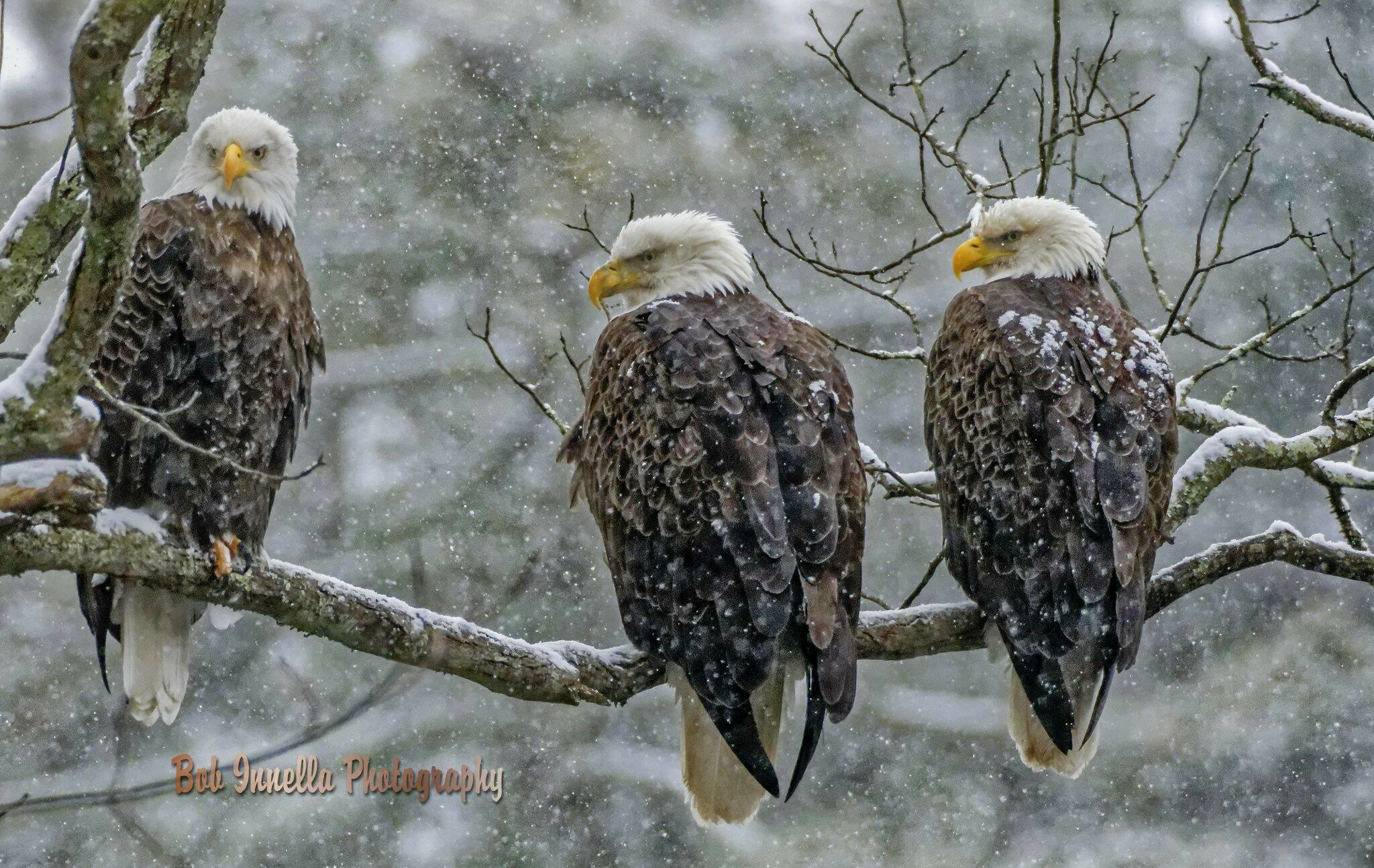 3 Eagles In Heavy Snowstorm - 3 Bald Eagles in Heavy Snowstorm, Rio, Ny by Buckmaster