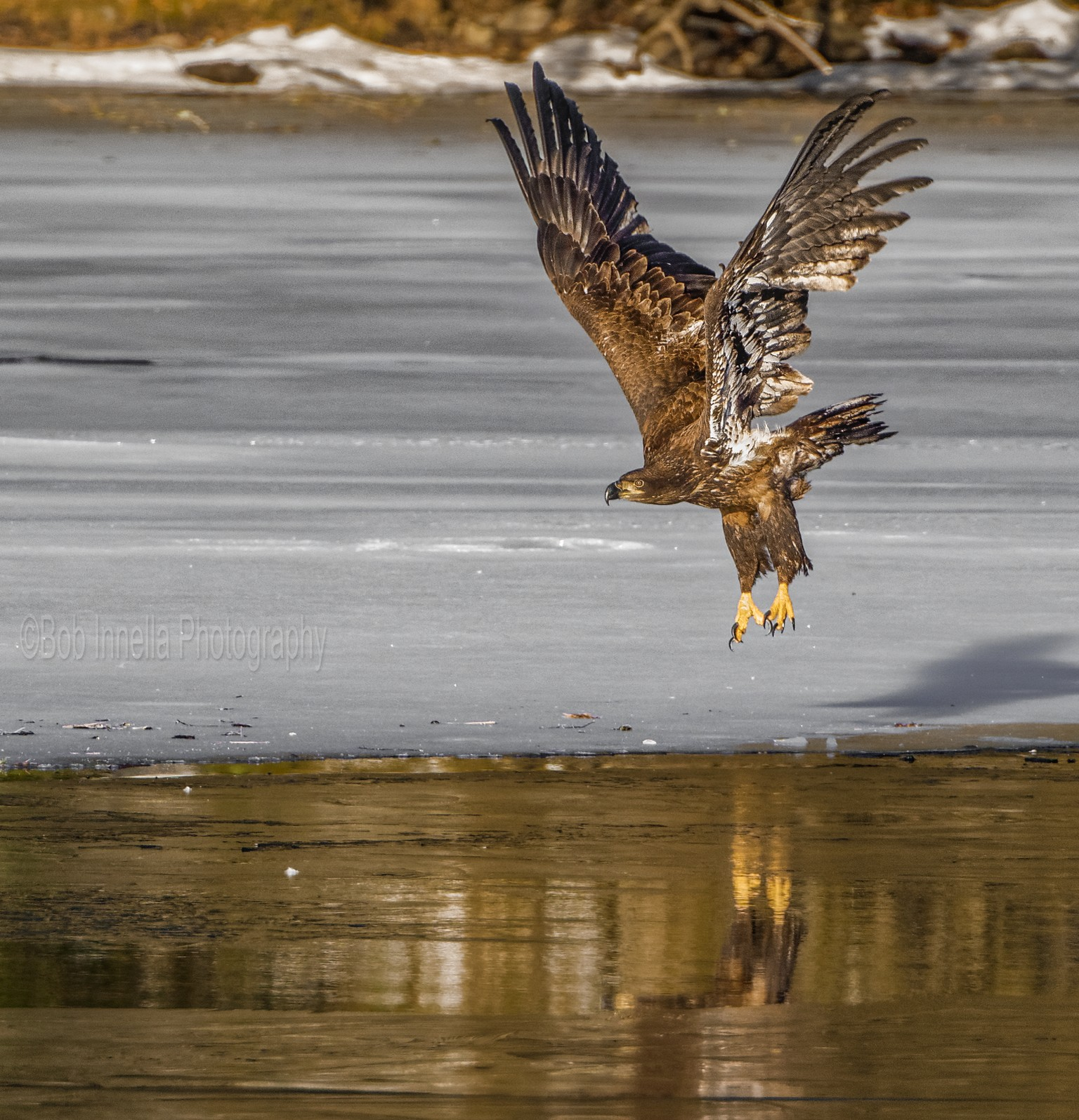Juvenile Eagle on Ice -  by Buckmaster