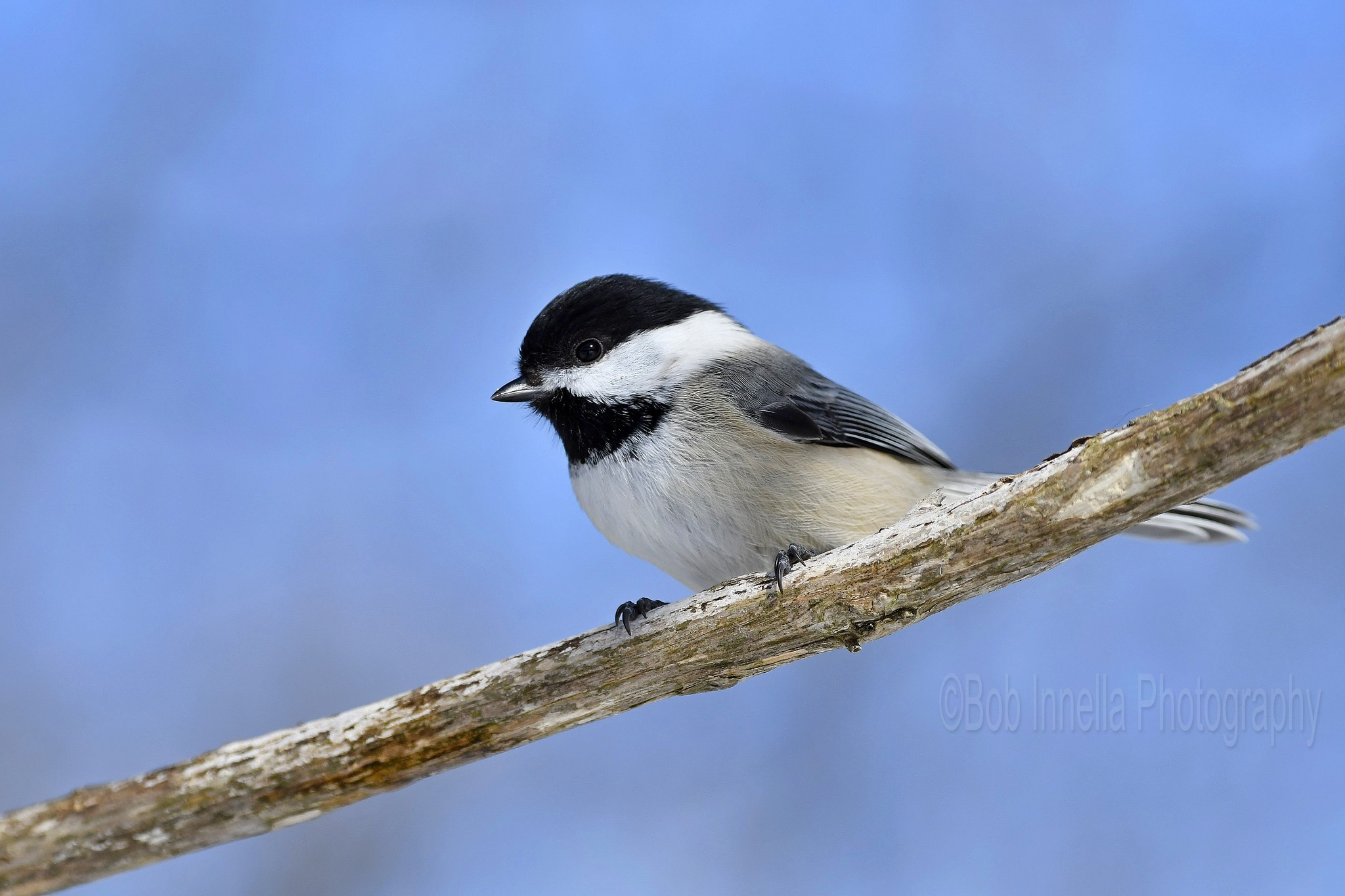 Black Capped Chickadee2 - Taken in the Wilds of Northeast Pa by Buckmaster