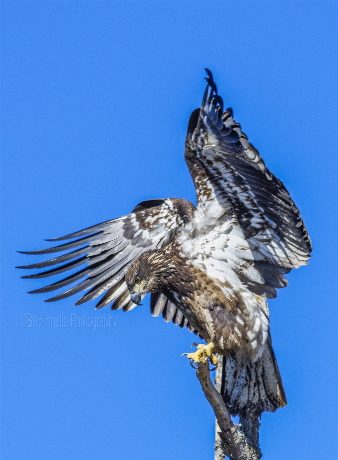 Juvenile Bald Eagle Flapping Wings -  by Buckmaster