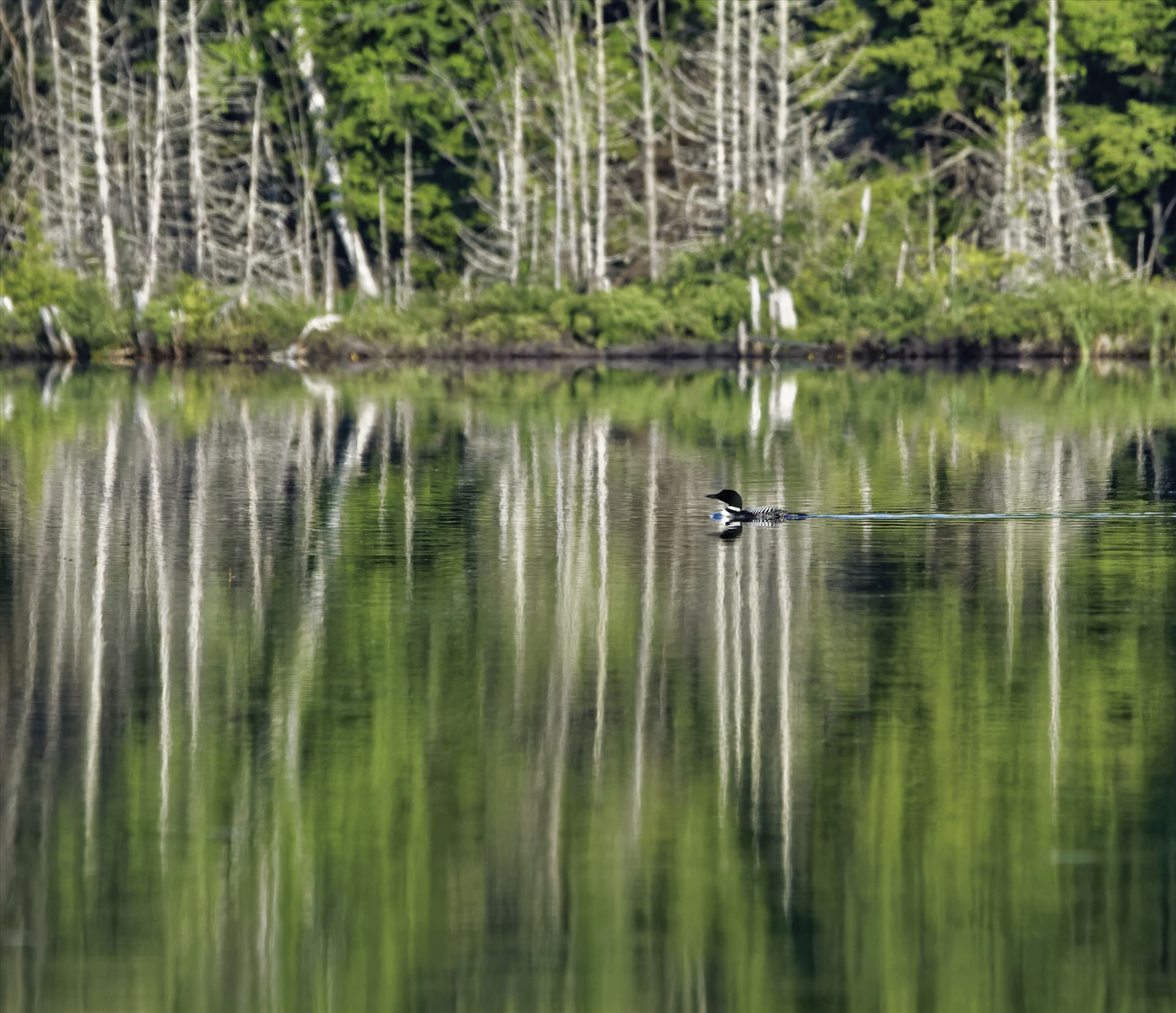 Common Loon - On Marble Pond, Northern Maine by Buckmaster
