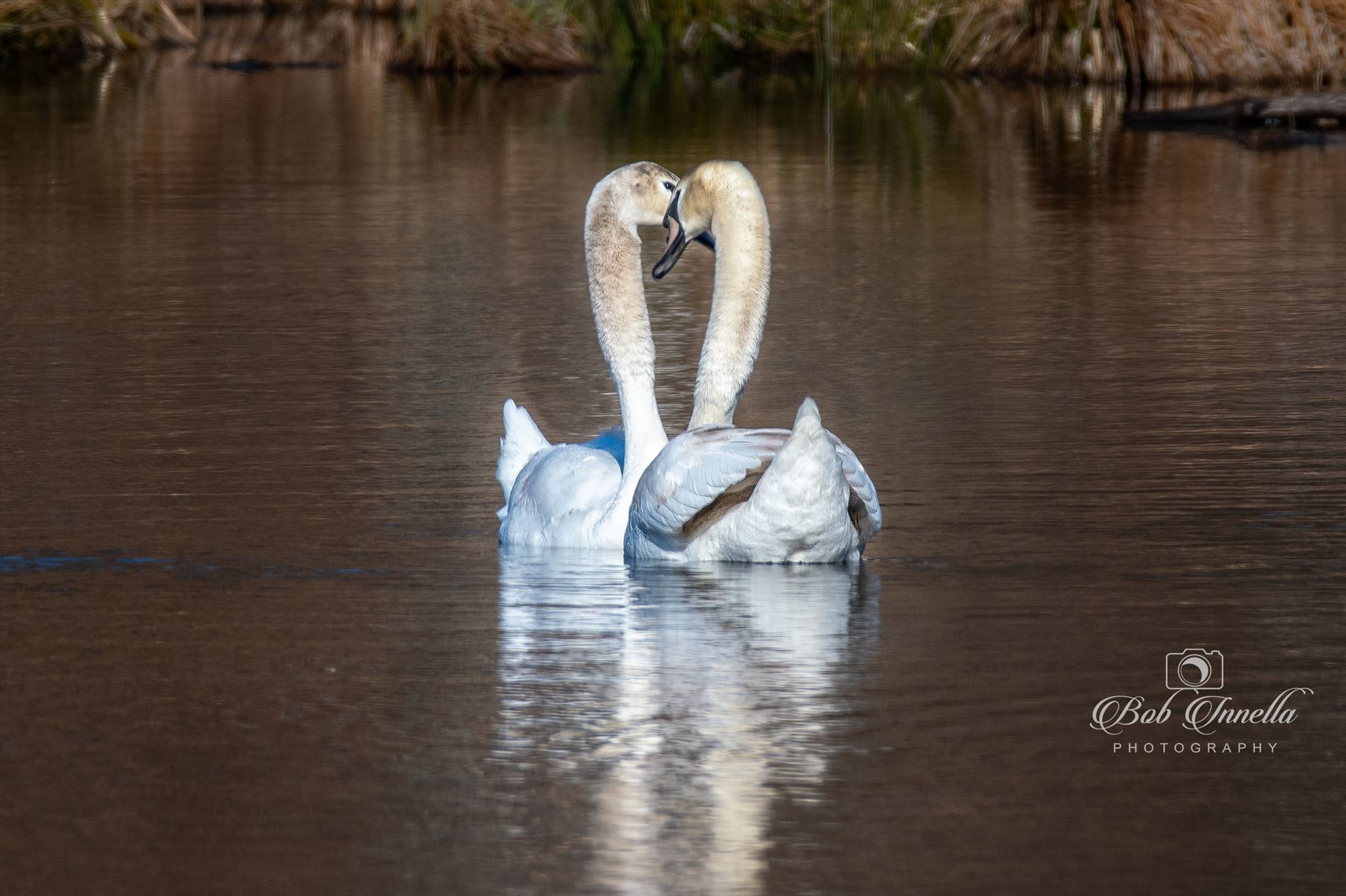 Love is in the Air Swans -  by Buckmaster