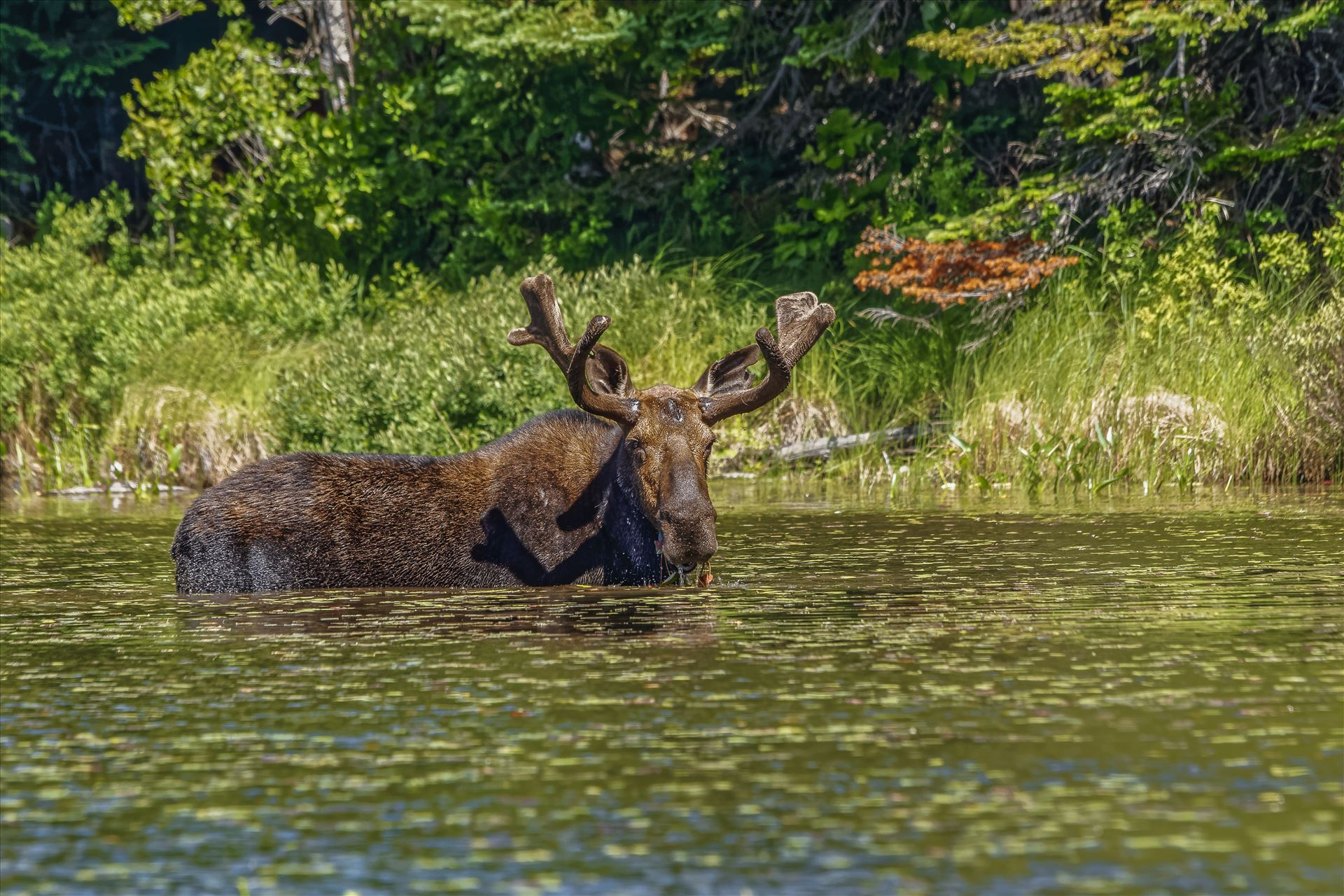 Bull Moose at a Small Pond - Moose at a Small Pond Off of Golden Road, Maine by Buckmaster