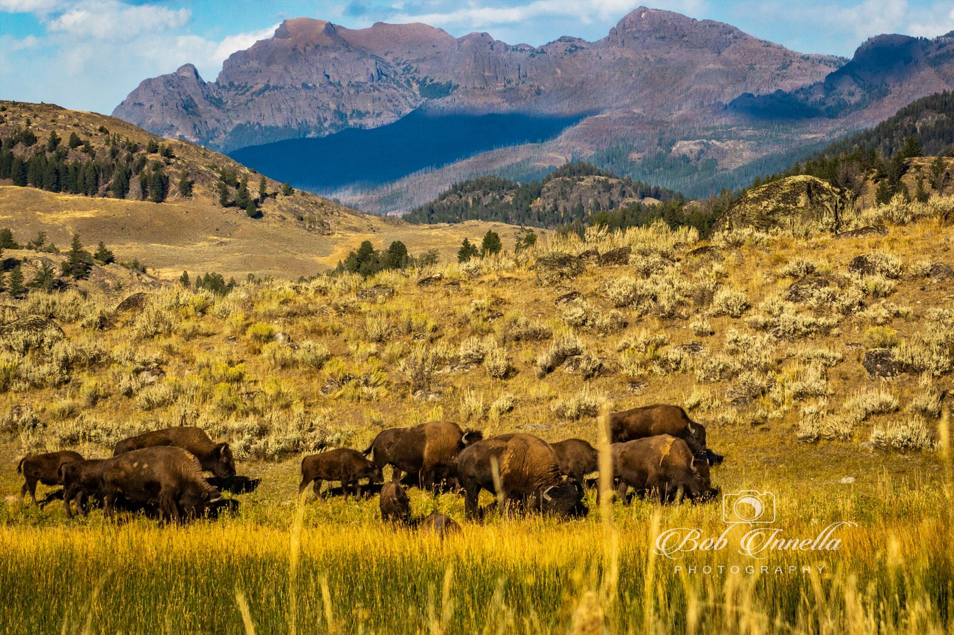 Bison on Lamar Valley, Wyoming -  by Buckmaster