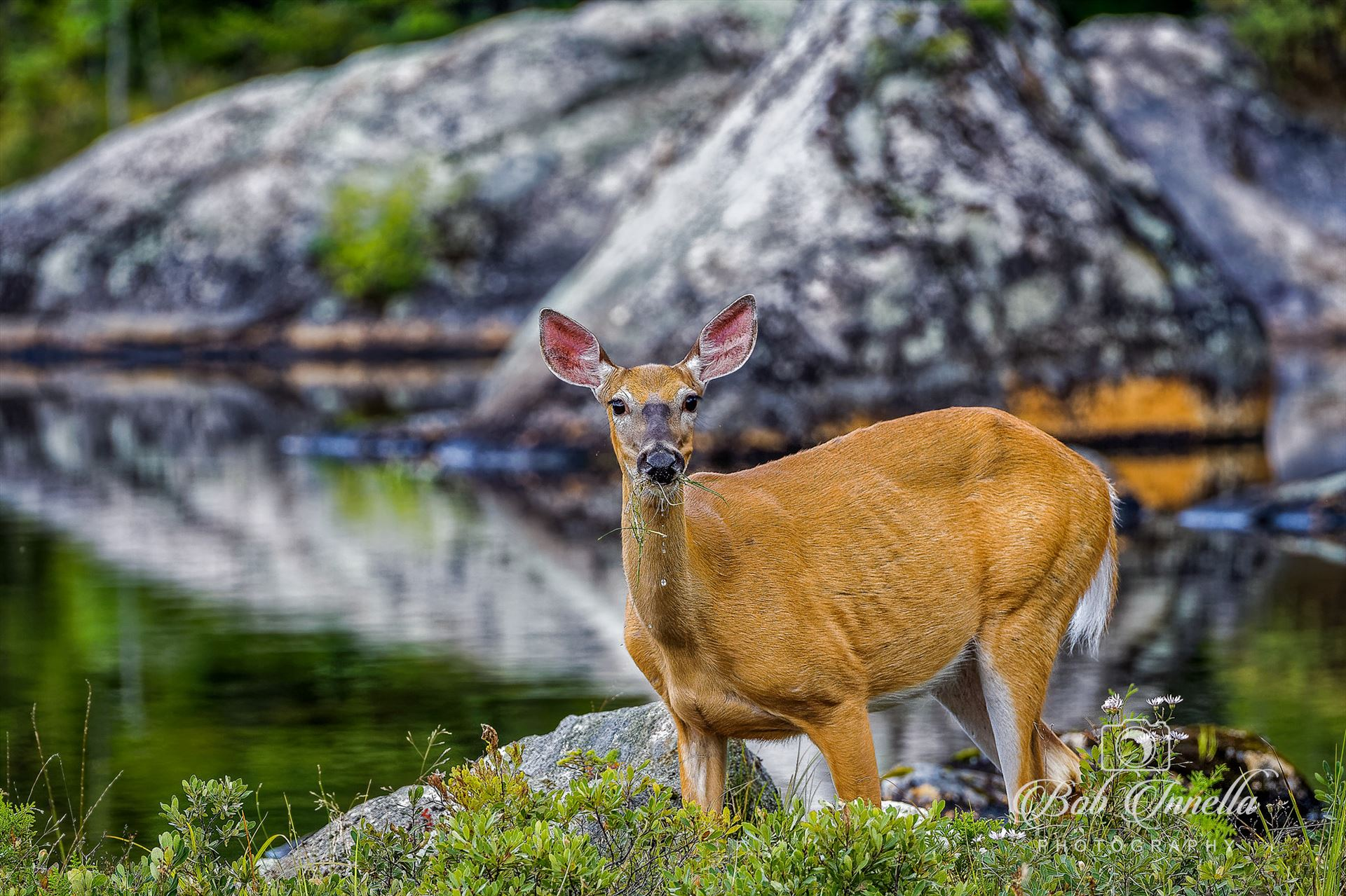 Button Buck Feeding - Taken Along A Small Pond In Northern Maine June 2014 by Buckmaster