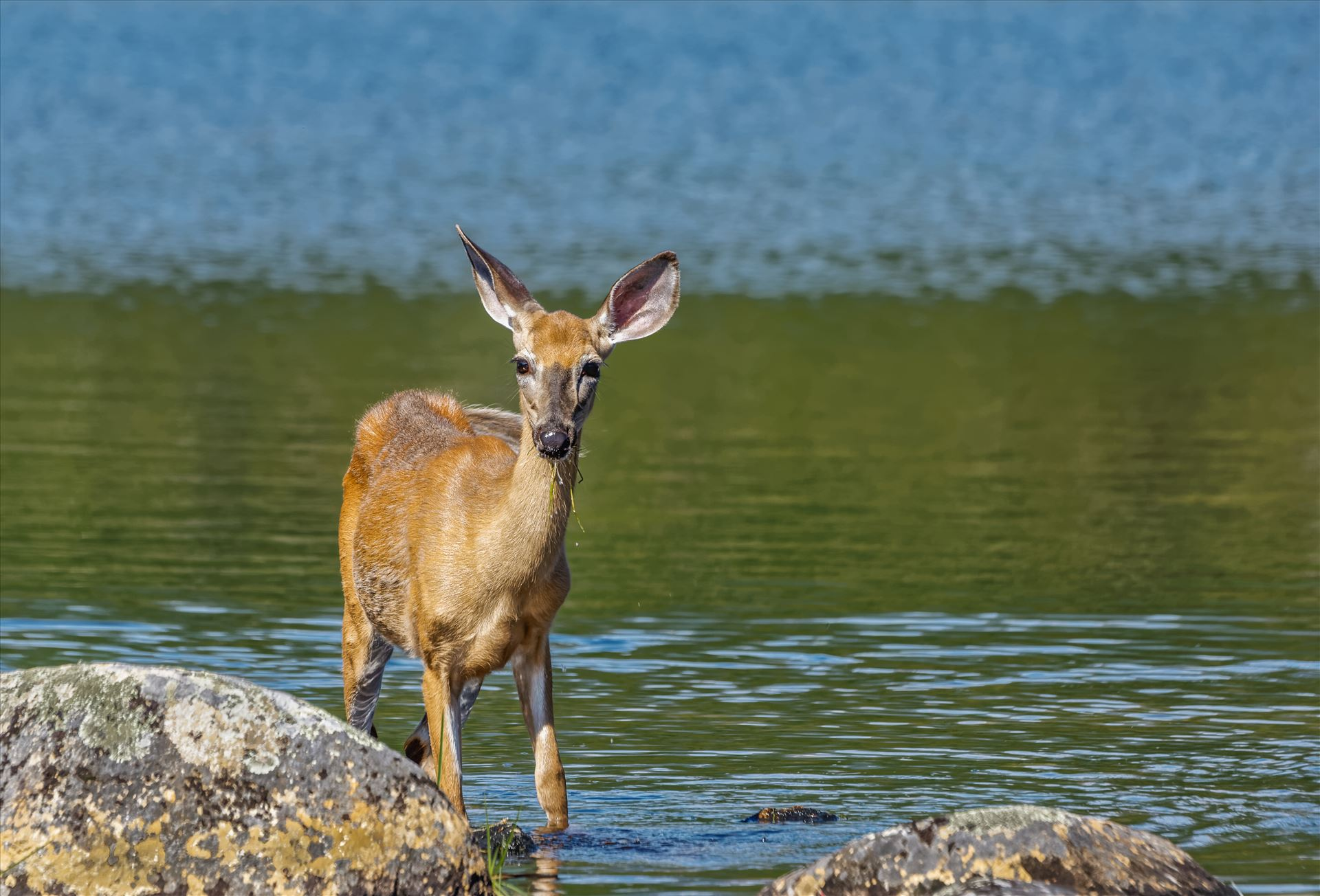 Whitetail Deer - Northern Maine Whitetail by Buckmaster