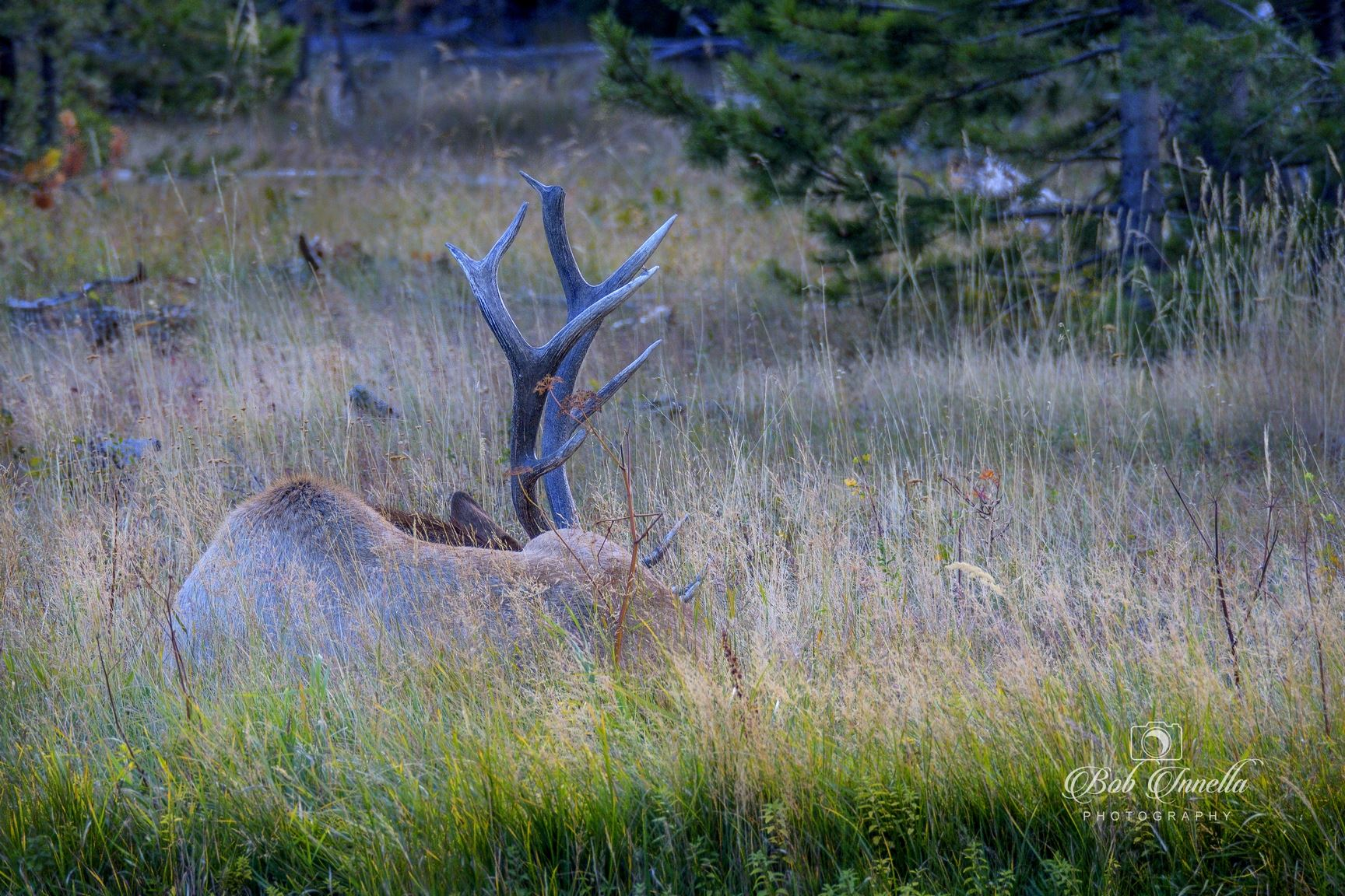 Bull Elk Resting - Taking A Needed Rest After Tending To His Harem Of Cows by Buckmaster