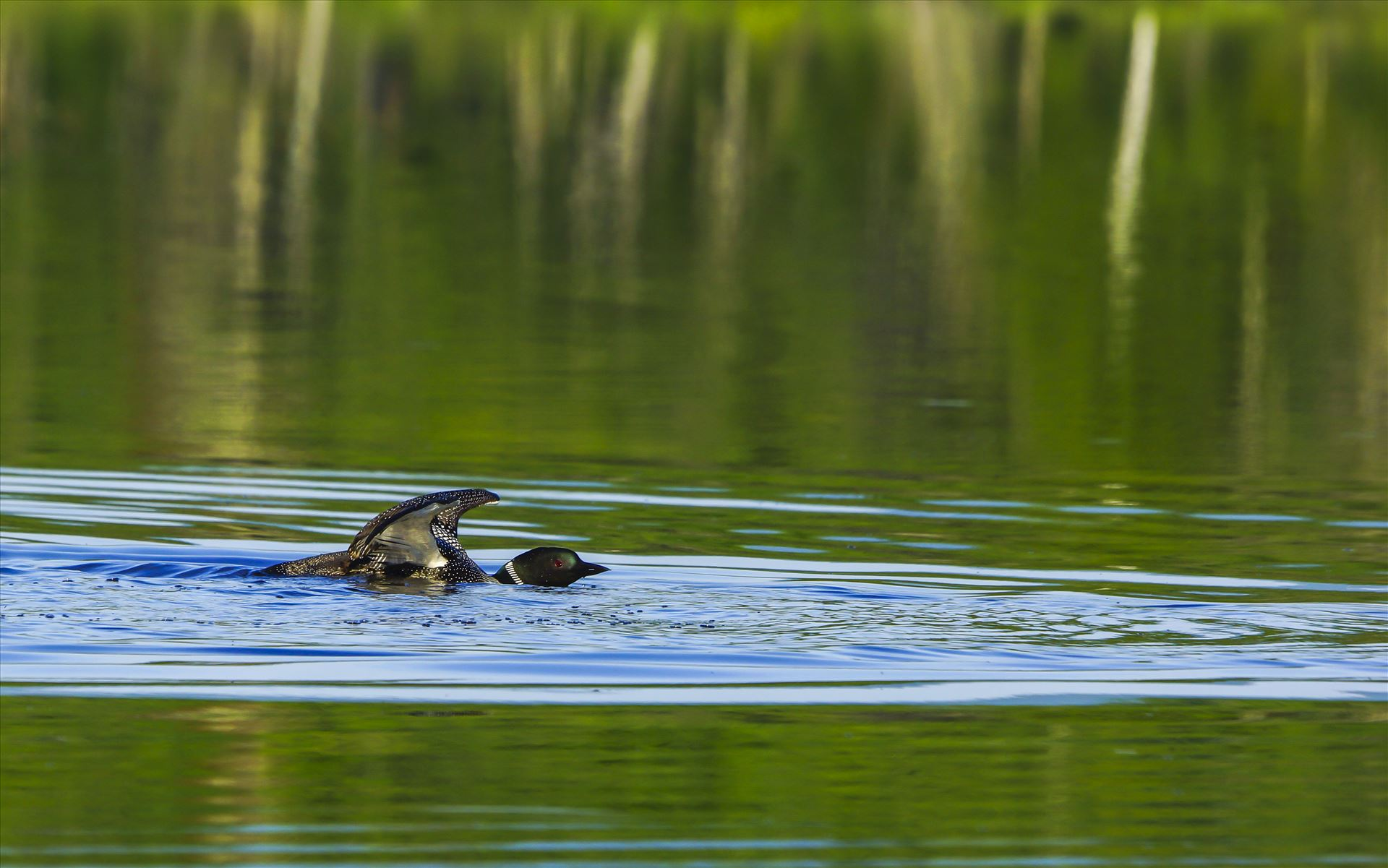 Common Loon - Loon done chasing 8 ducklings by Buckmaster
