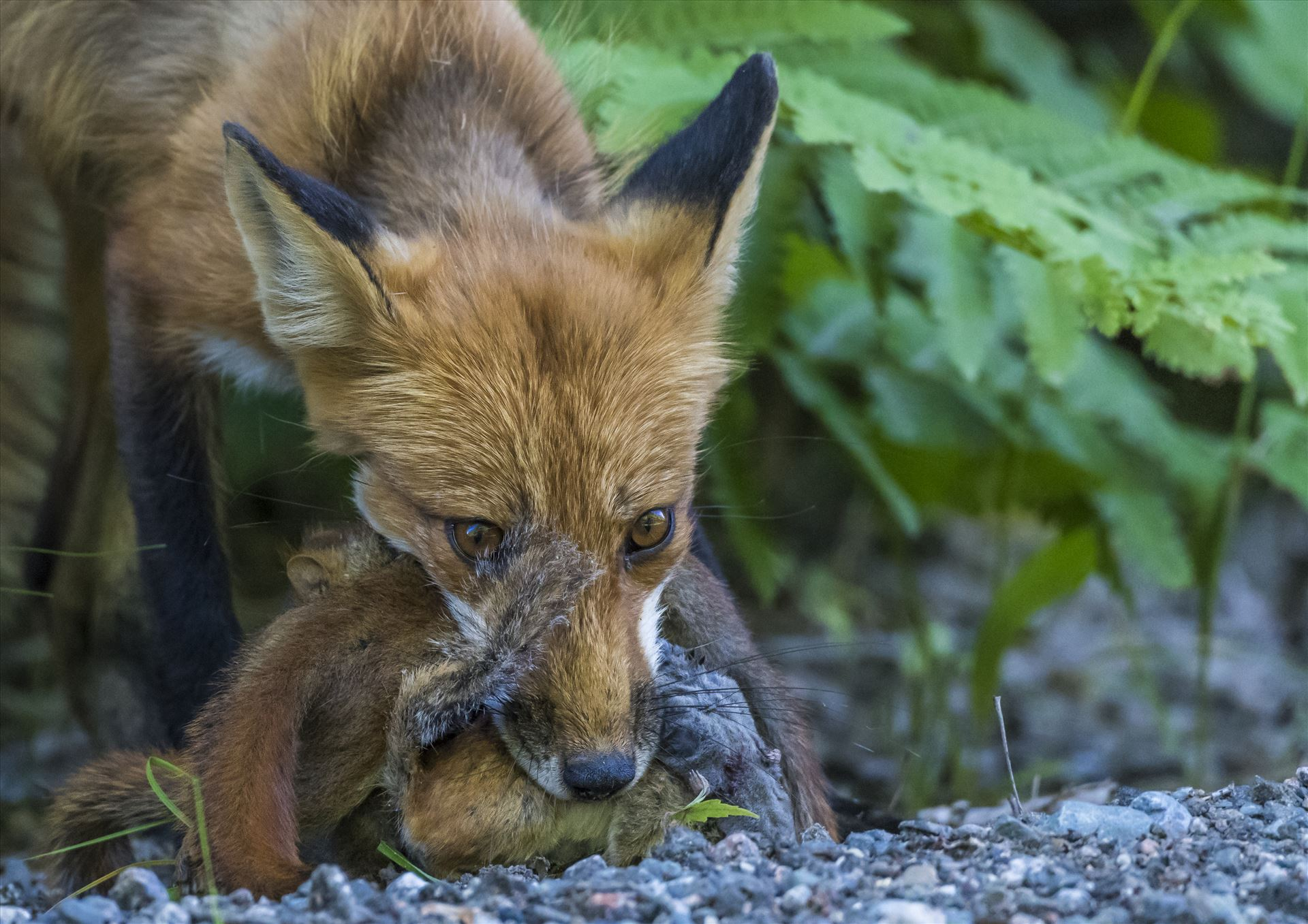 Maine Red Fox - Red Fox with 4 Red Squirrels and another unknown varmit in mouth by Buckmaster