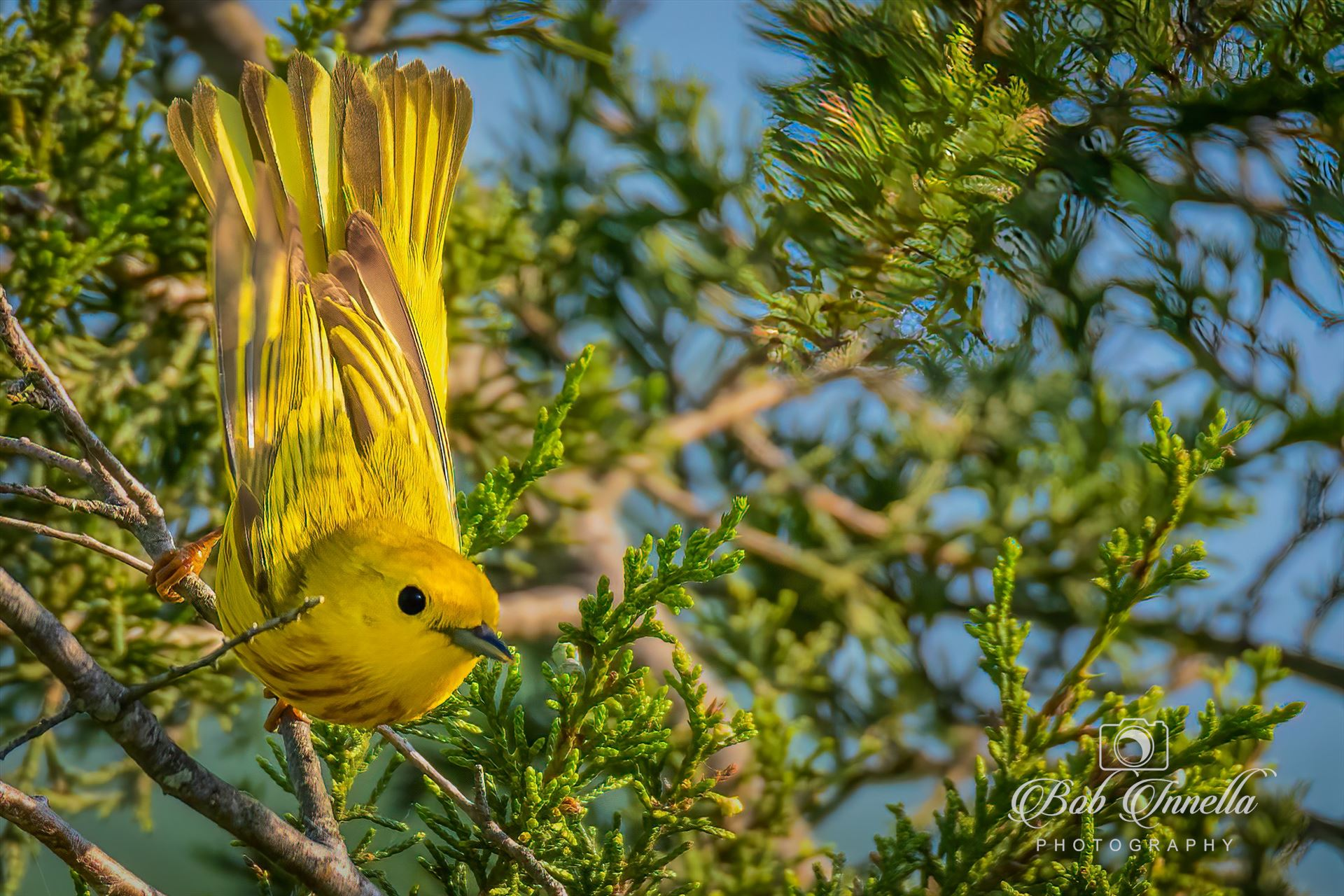 Yellow Warbler_Wings out -  by Buckmaster