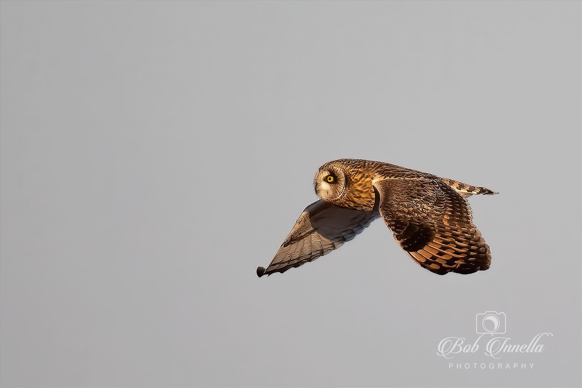 Short Ear Owl In Flight -  by Buckmaster