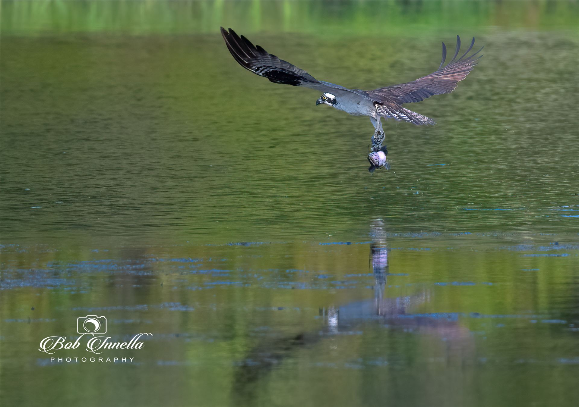 Osprey_with_Catfish -  by Buckmaster