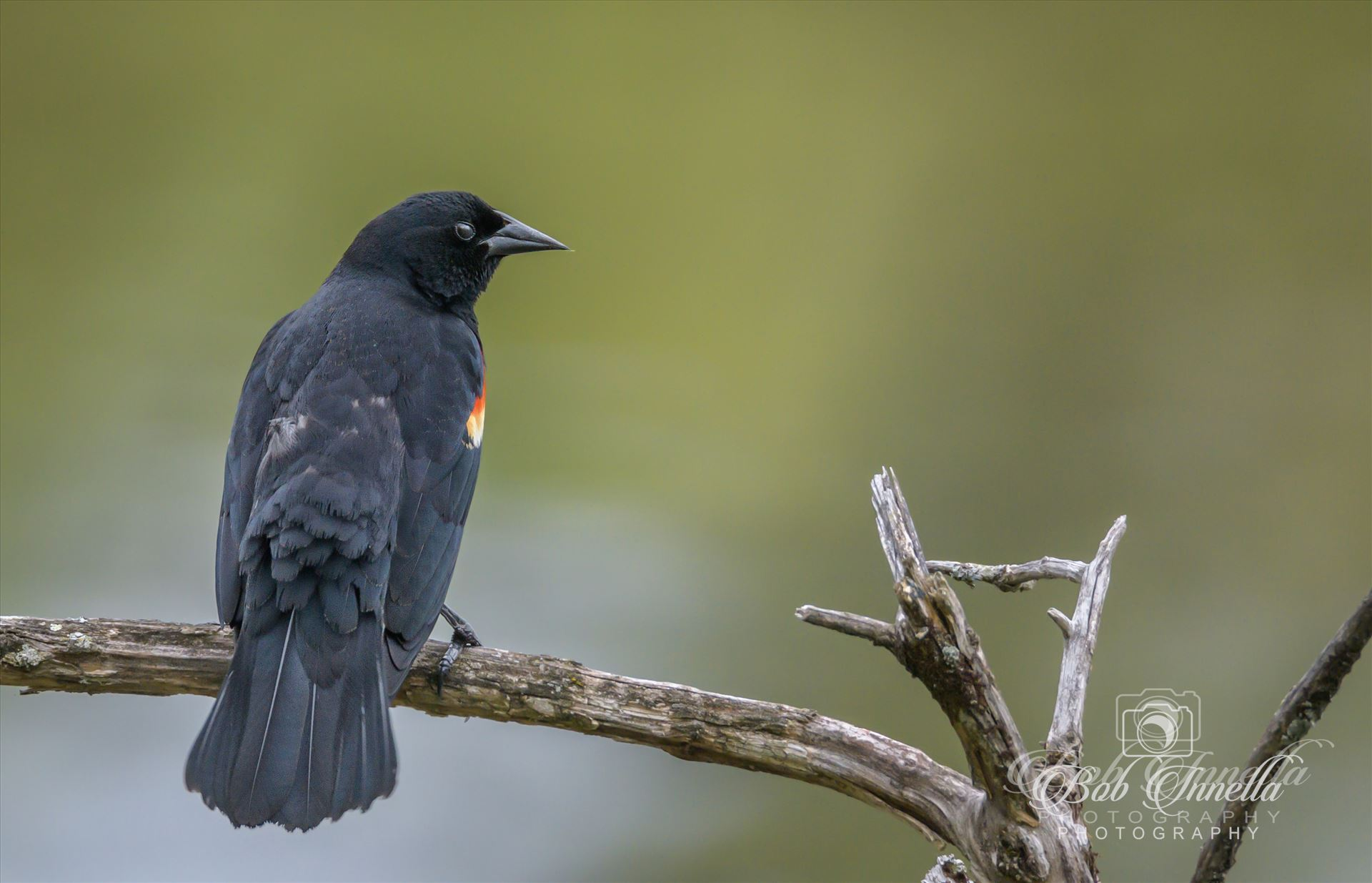 Red Winged Blackbird - Red Winged Blackbird by Buckmaster