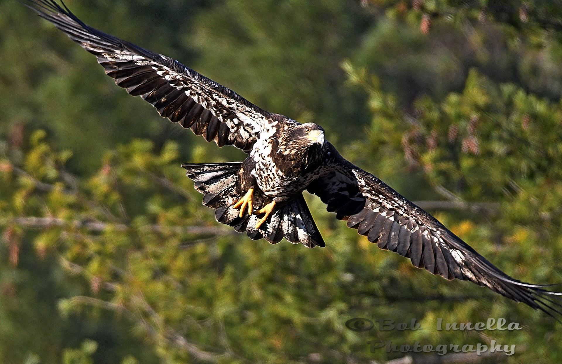Eagle_9367 - Juvenile Bald Eagle On Mongaup River, Rio, NY by Buckmaster