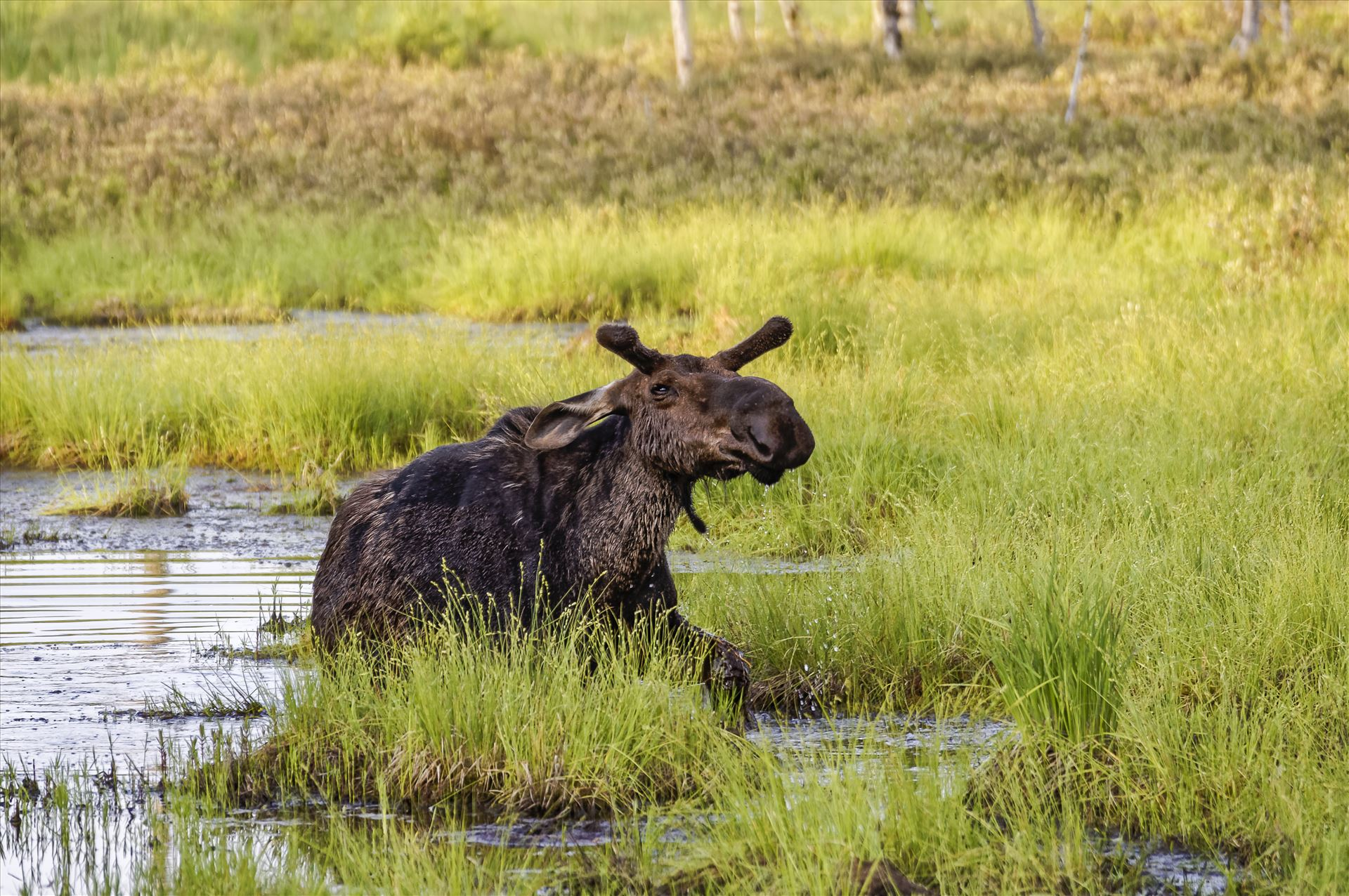 Moose in the Bog - Small Bull Moose coming out of a bog after getting tired of me photographing him by Buckmaster