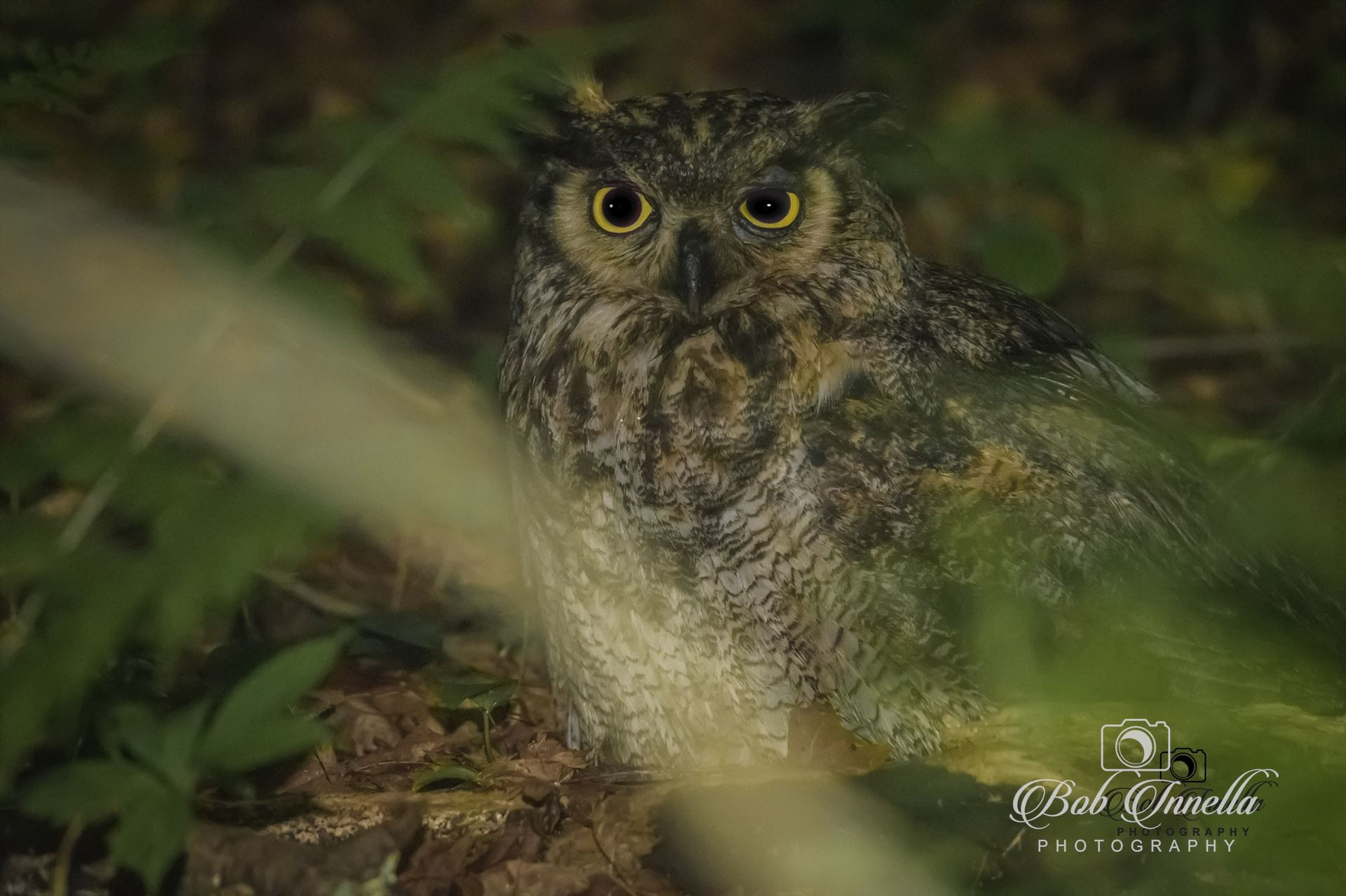 Owl - Taken In Delaware Water Gap NPS Land, Dingmans, Pa by Buckmaster