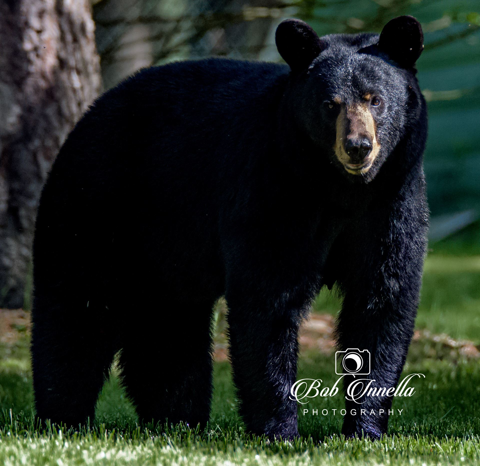 Black Bear_1669 - Taken along the Mongaup River, NY by Buckmaster