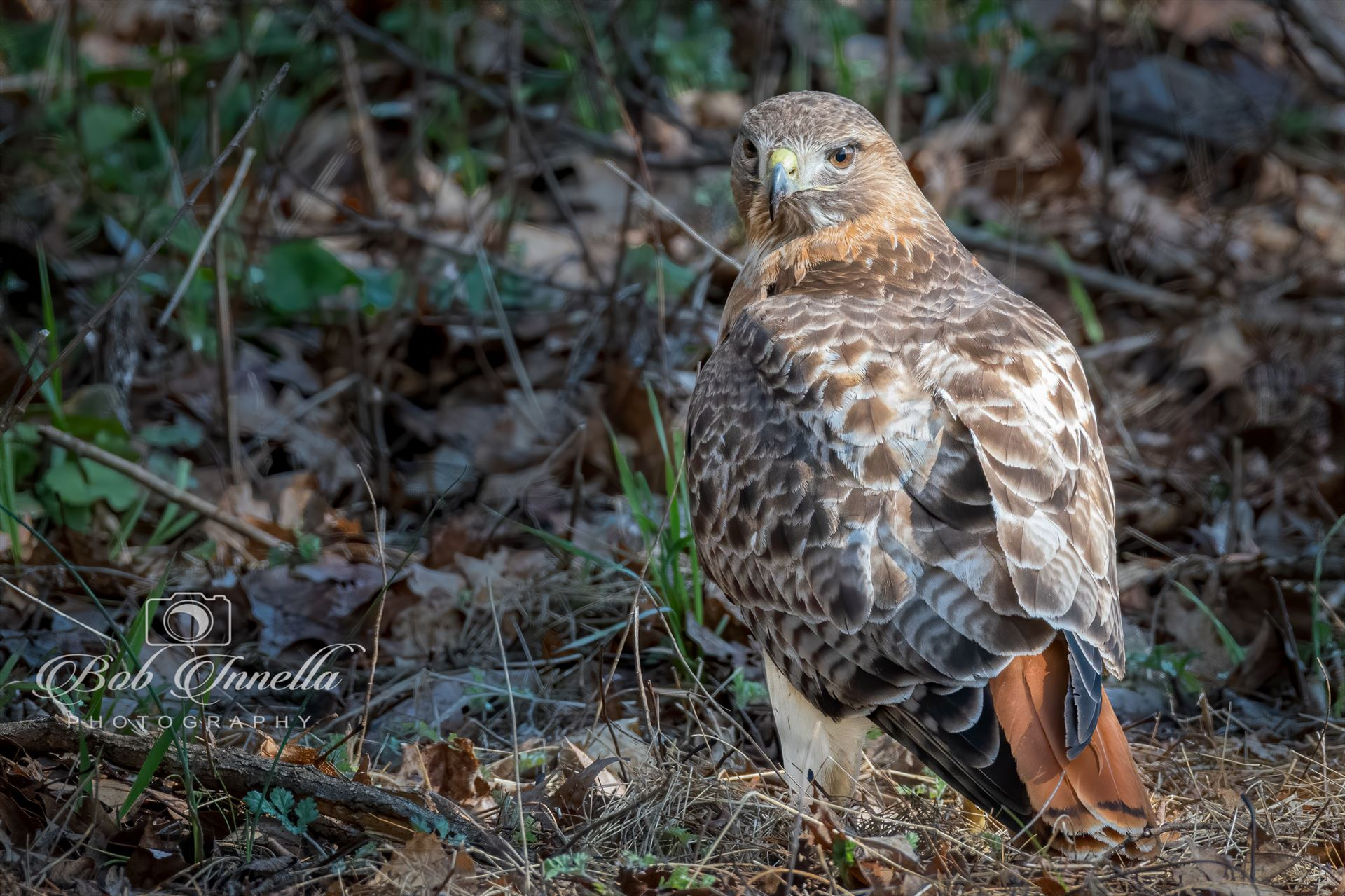 Red_tail_Hawk -  by Buckmaster