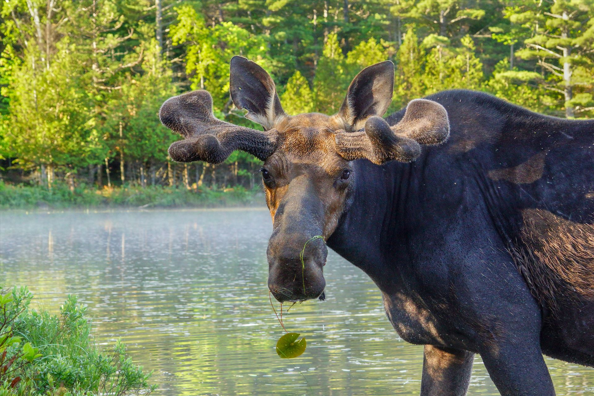 Up Close Bull Moose - Taken in June 2015 in Northern Maine, USA by Buckmaster