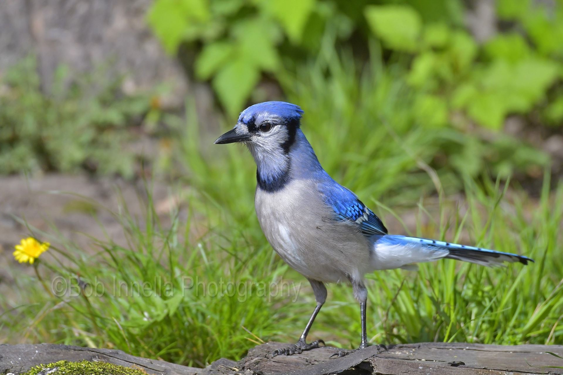 Pennsylvanian BlueJay - From The Wilds Of Pennsylvania by Buckmaster