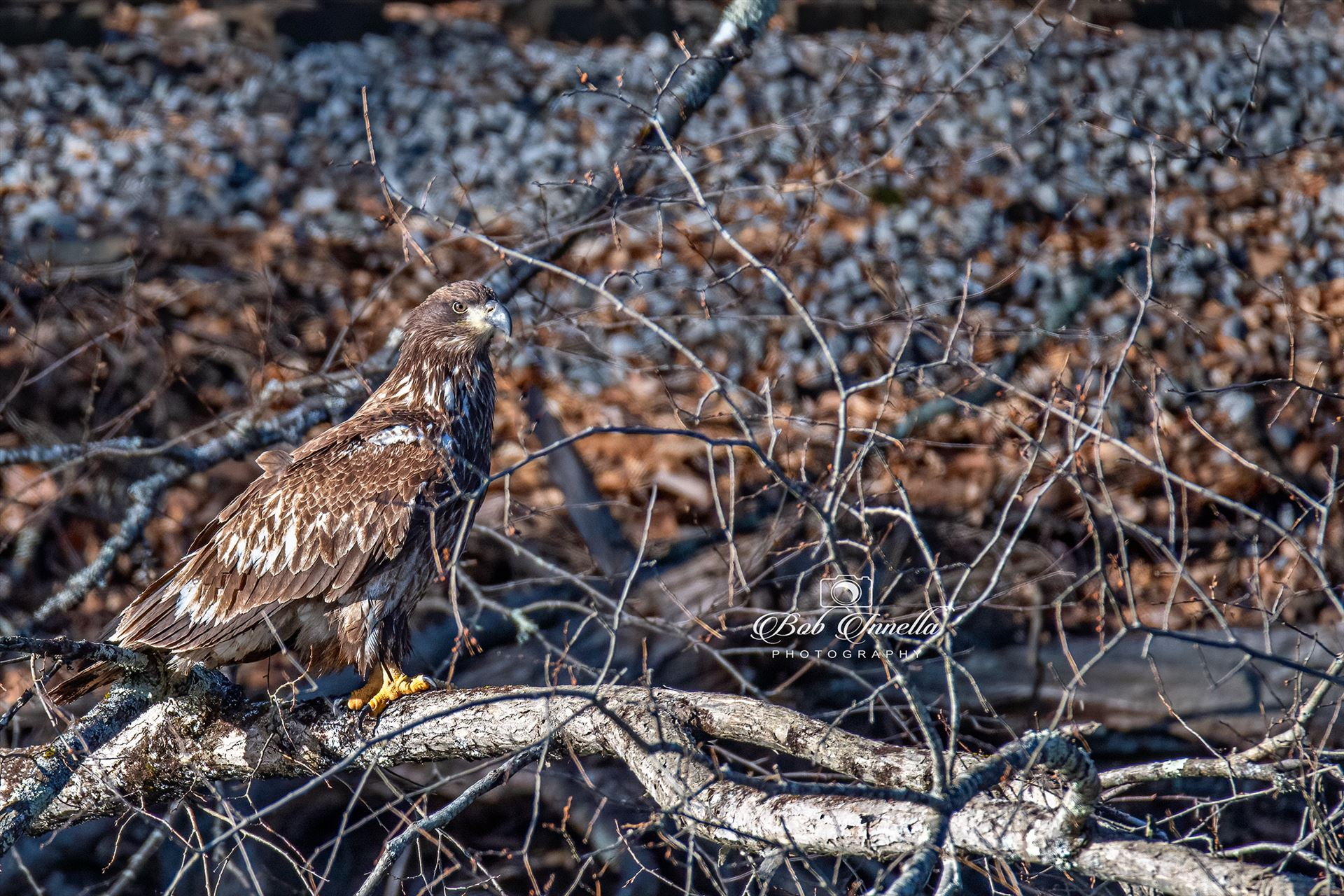 Lackawaxan Juvenile Eagle -  by Buckmaster