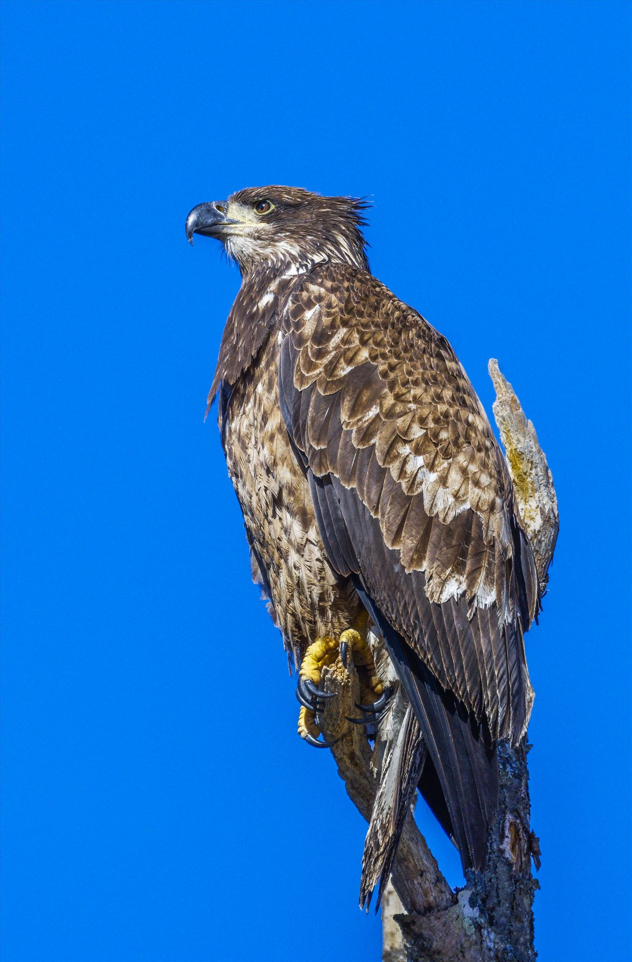 Juvenile Eagle watching Ducks -  by Buckmaster