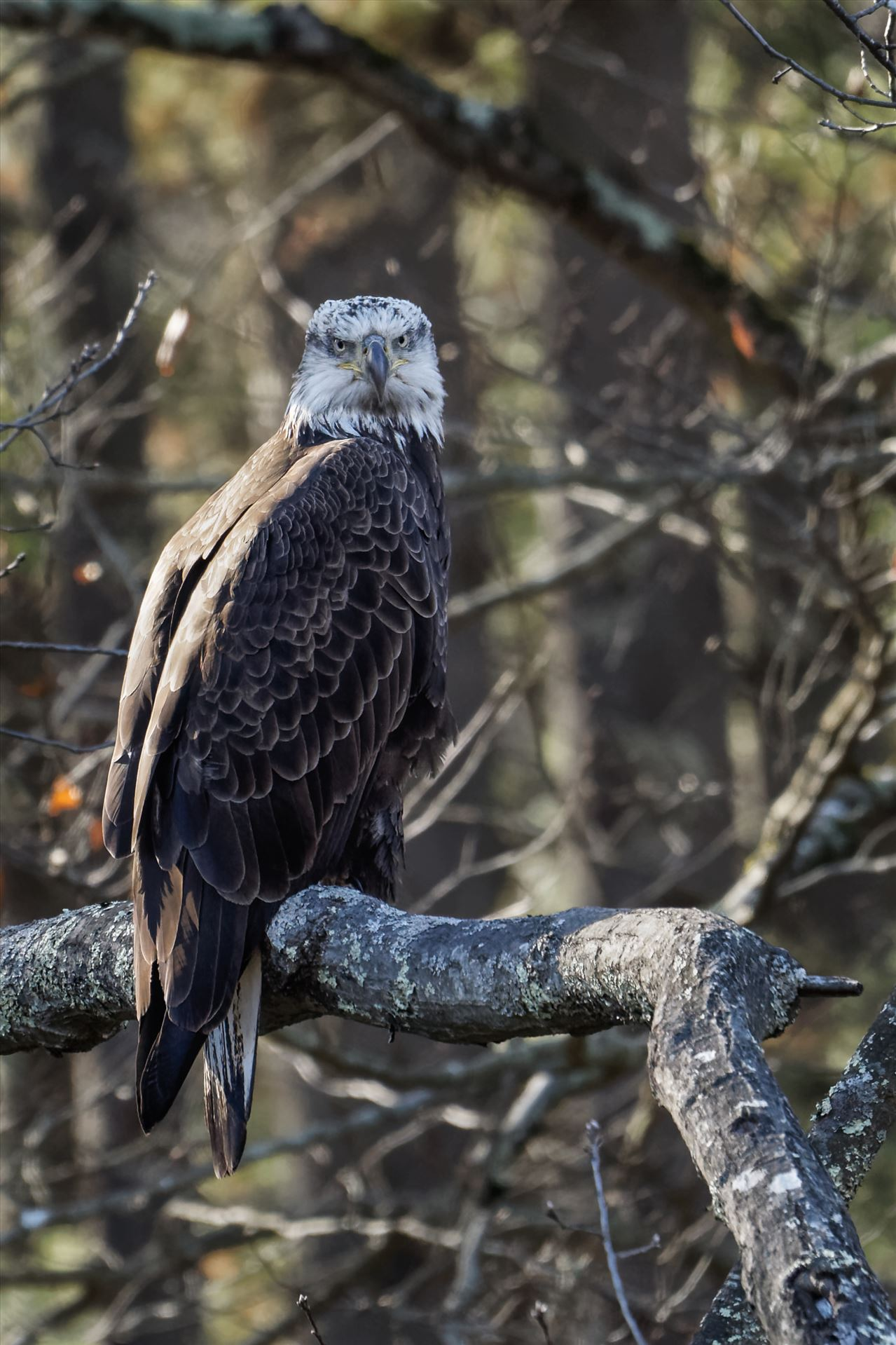 Juvenile Bald Eagle Perched -  by Buckmaster