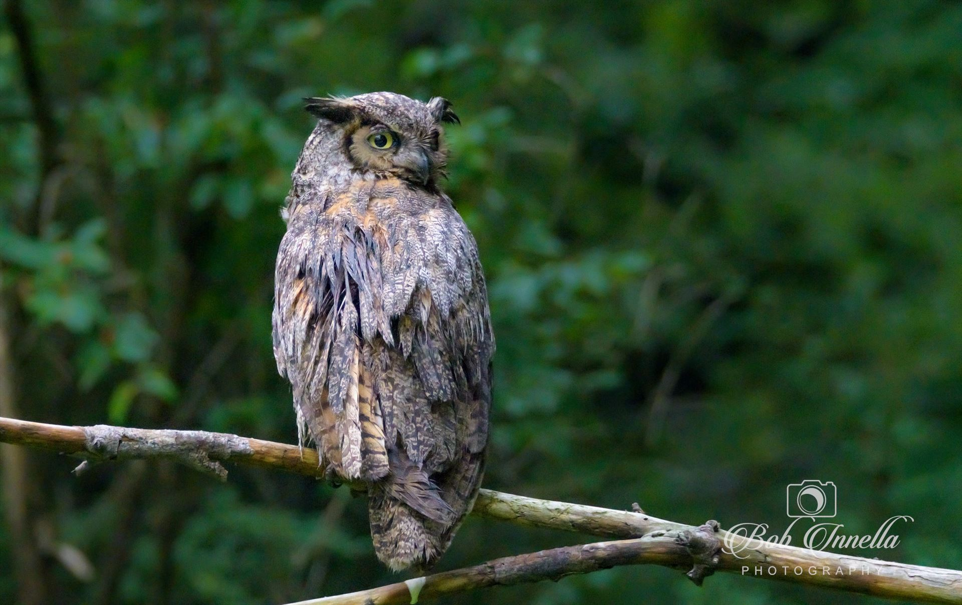 Owl - Taken In Delaware Water Gap NPS Lands, Dingmans, Pa by Buckmaster