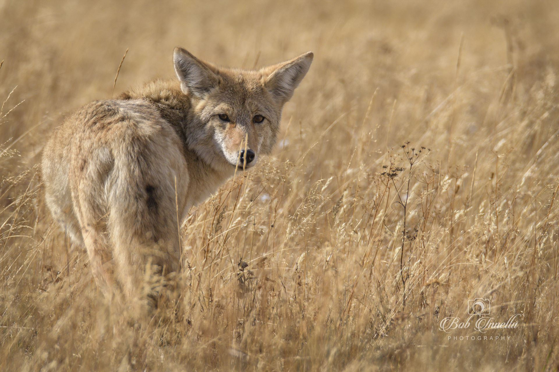 Western Coyote - Caught Him In The Fields Hunting For Field Mice by Buckmaster
