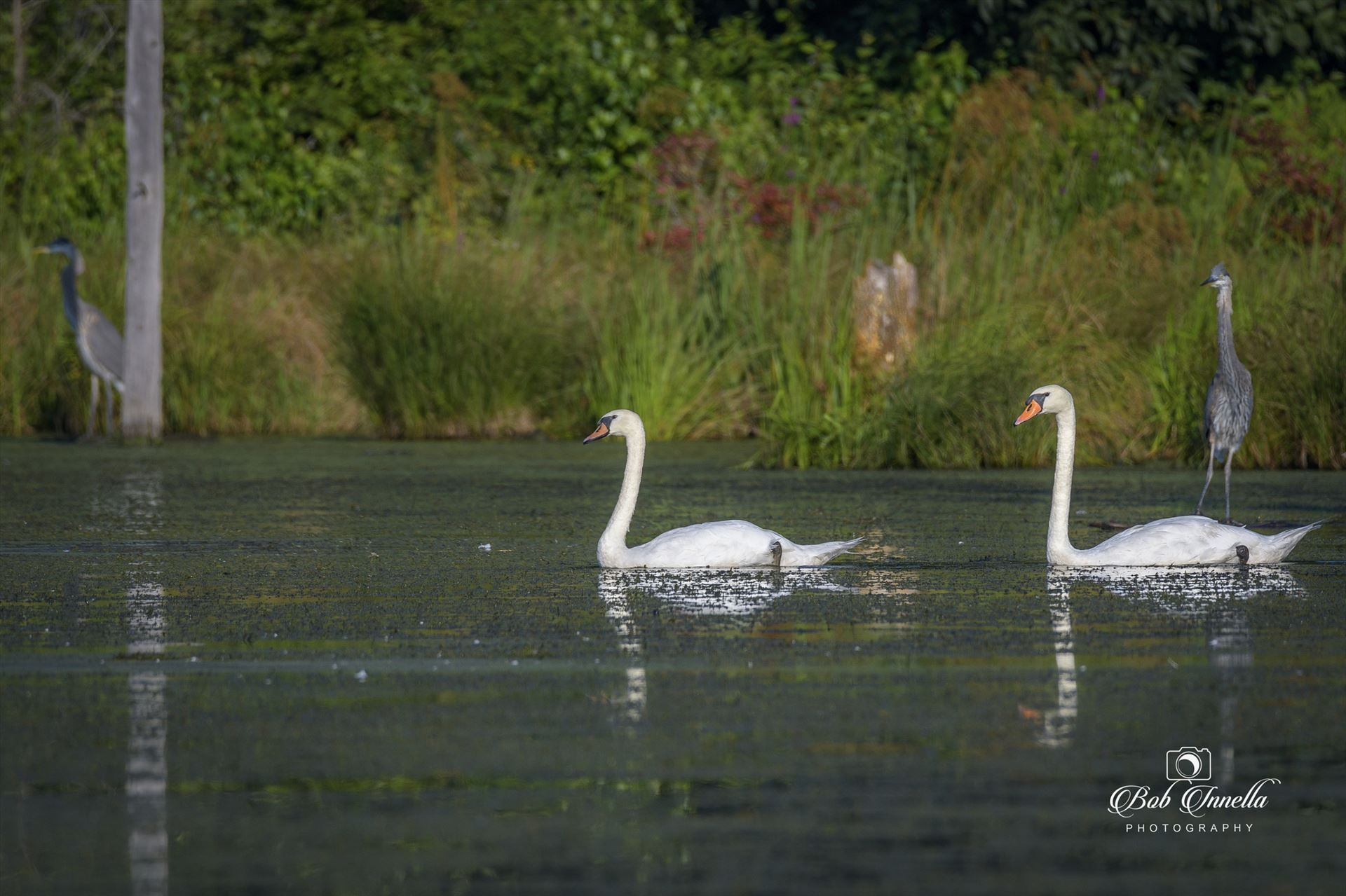 Wild White Swans - 2 White Swans with Two Great Blue Herons, Layton, NJ, National Park Service Land 2018 by Buckmaster