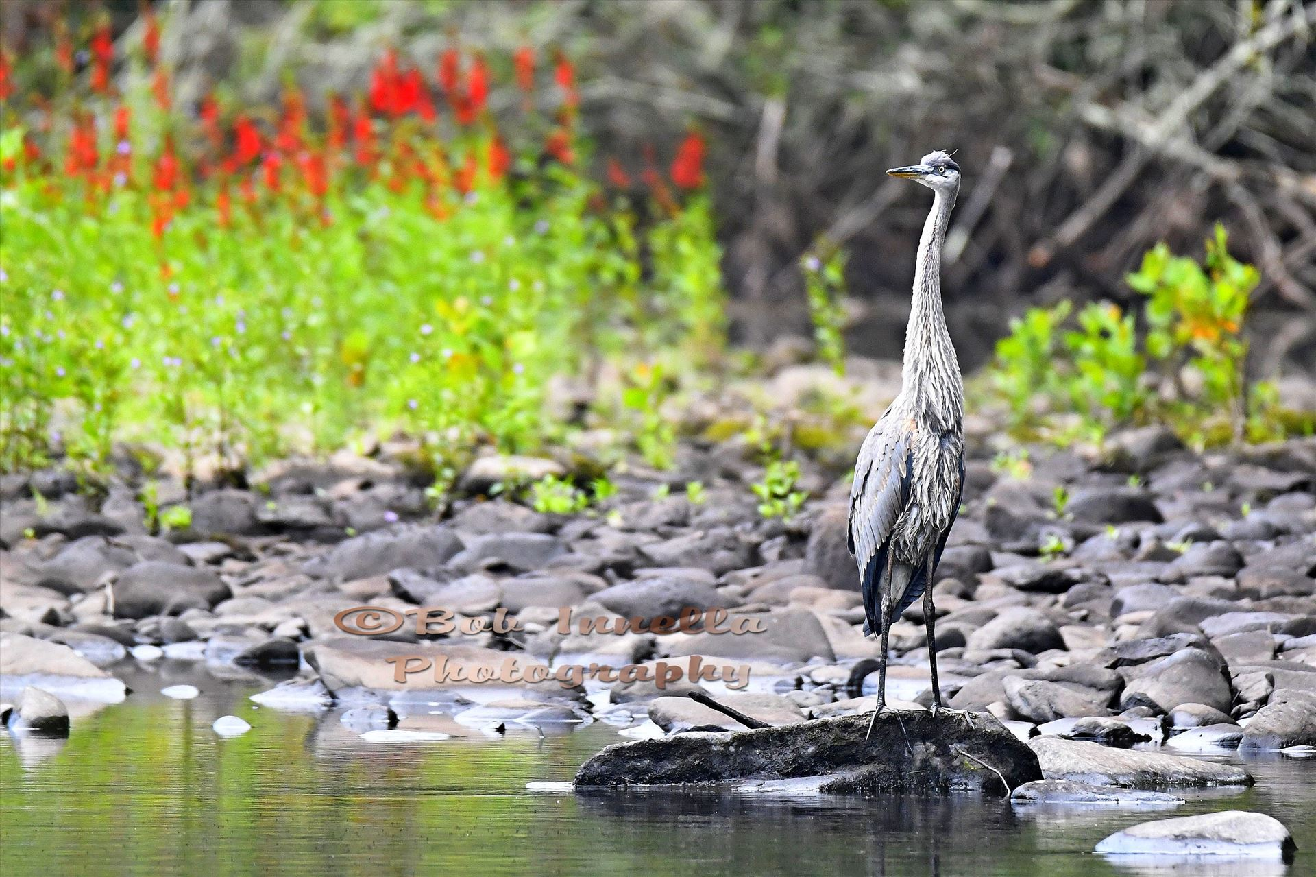 Great Blue Heron - Taken on The Mongaup River, NY by Buckmaster