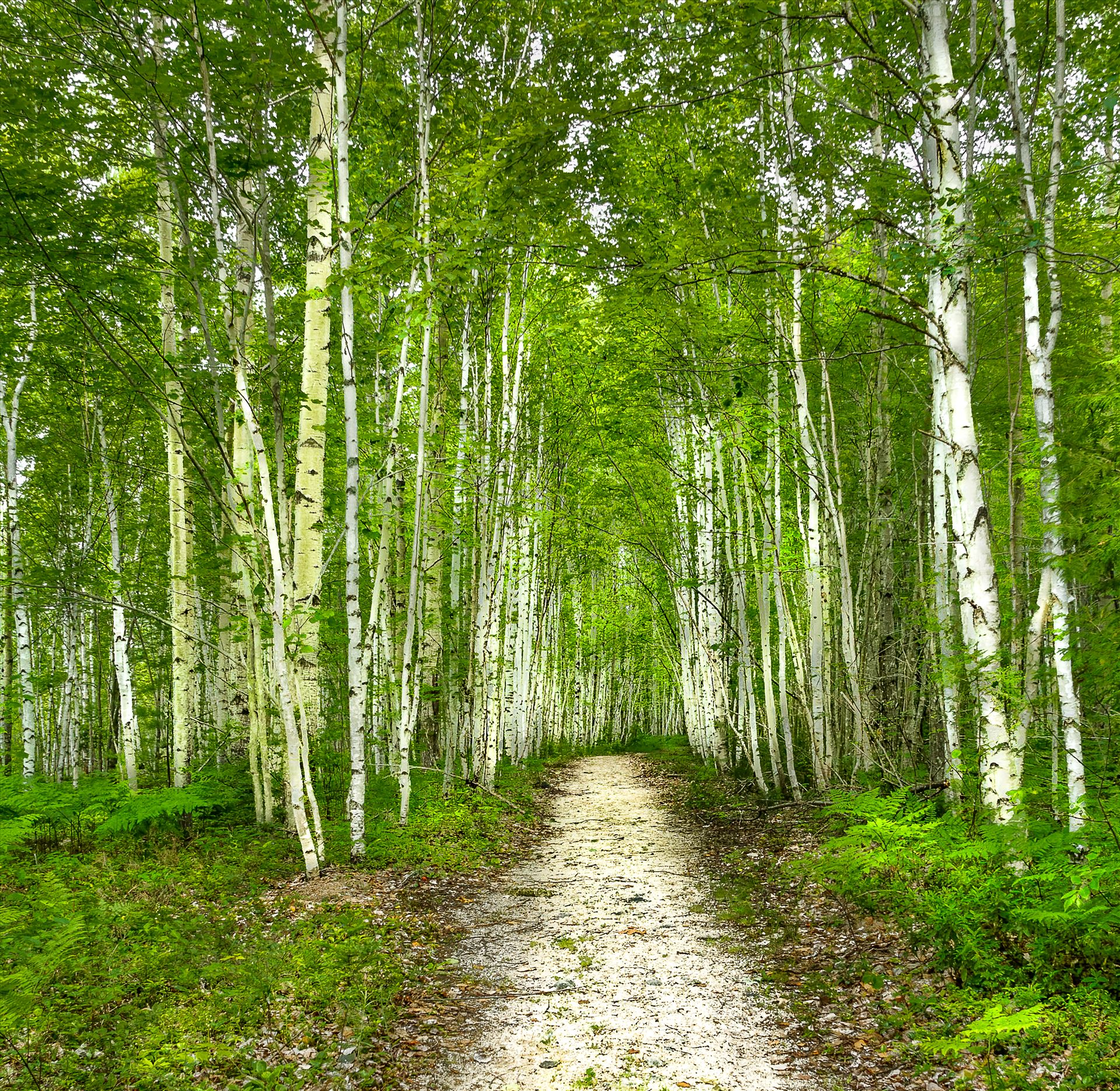 Birch Trees - Trail to Blueberry Ledges in Baxter State Park, Maine by Buckmaster
