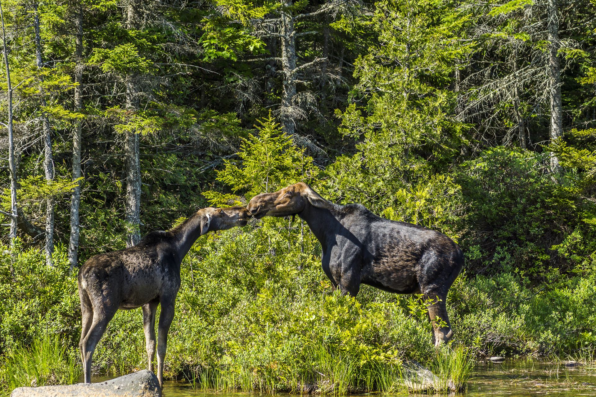 The Moose Kiss - By the looks of their ears I don't think this is a memorable kiss by Buckmaster