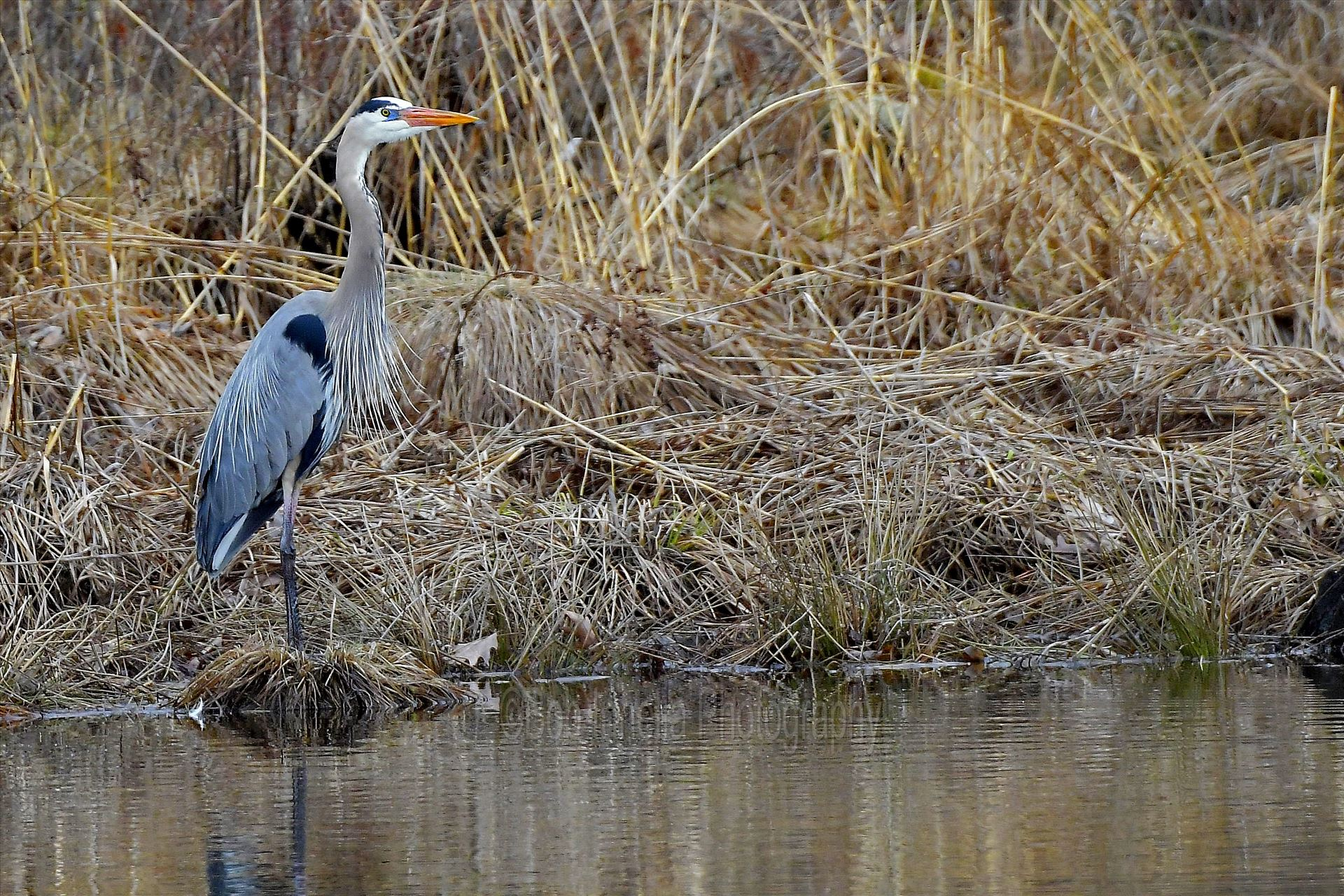 Great Blue Heron1 - Great Blue Heron in High Point State Park, NJ by Buckmaster
