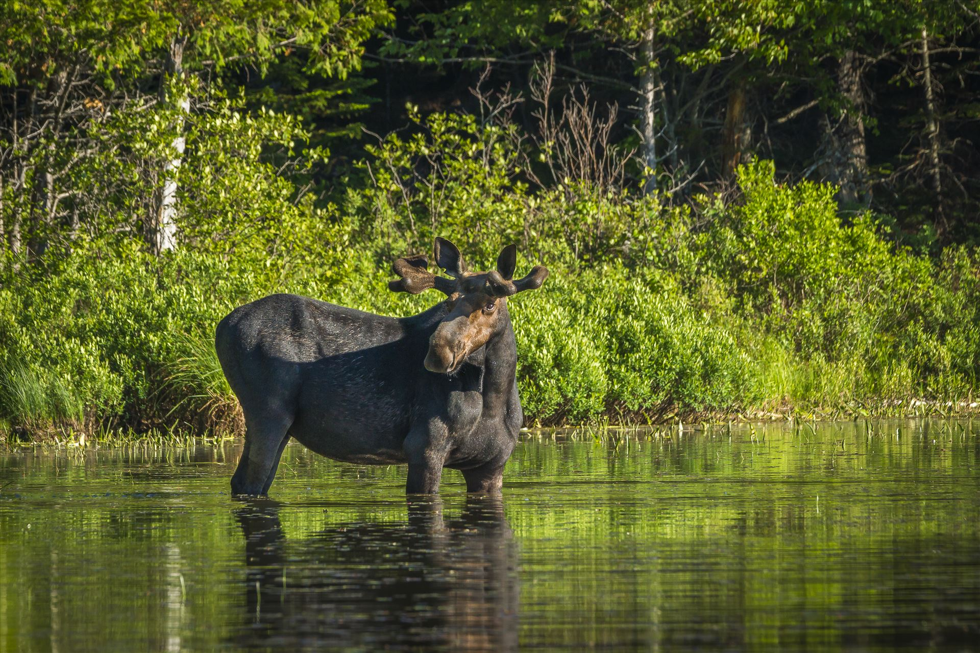 Muscle Bound Bull Moose - Northern Maine by Buckmaster