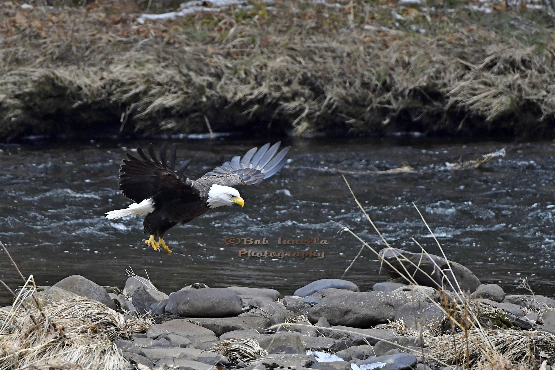 Eagle_3287 - Bald Eagle Along The Mongaup River, NY by Buckmaster