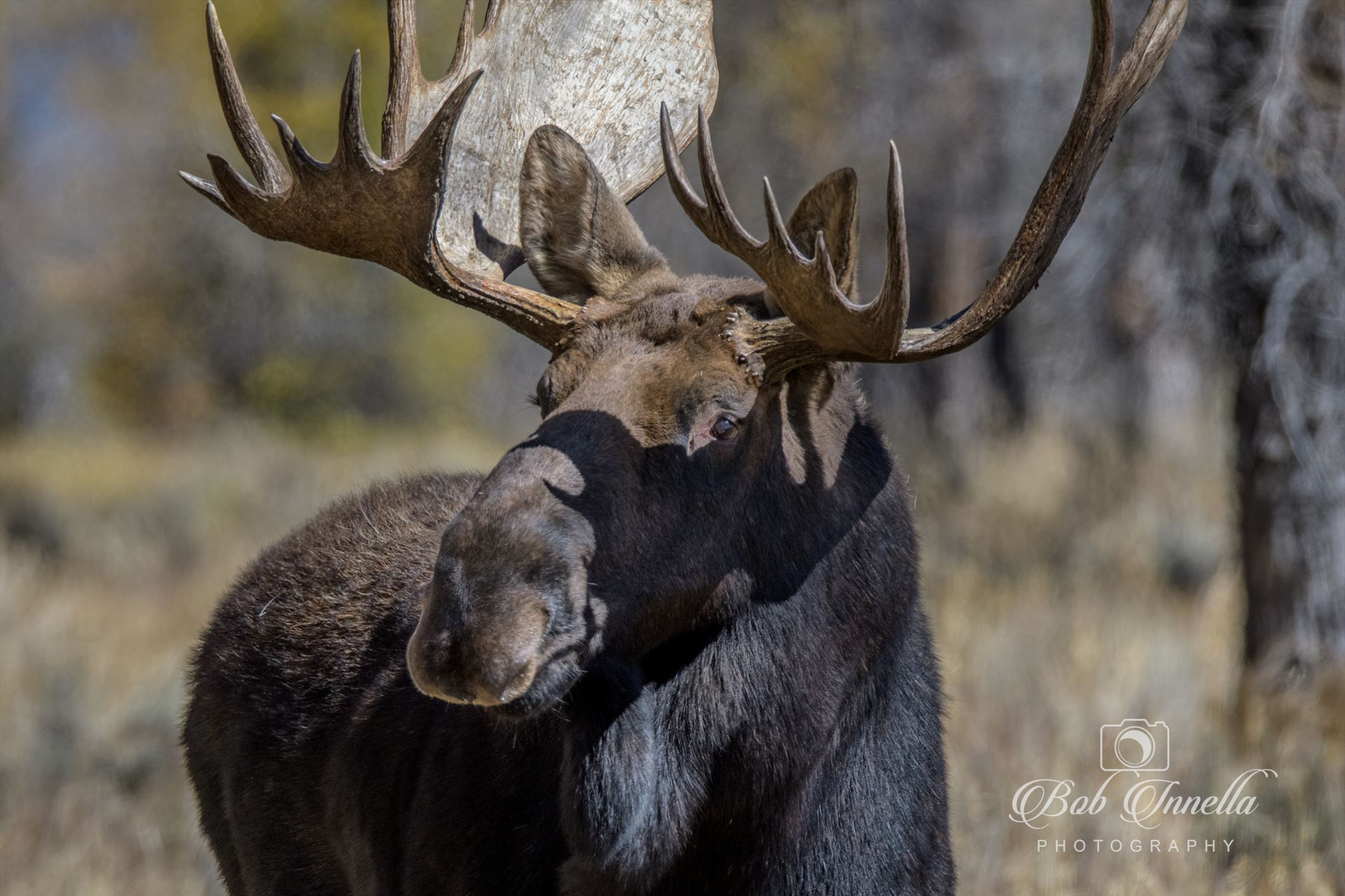 Moose Close Up - Taken In Wyoming 2018 by Buckmaster