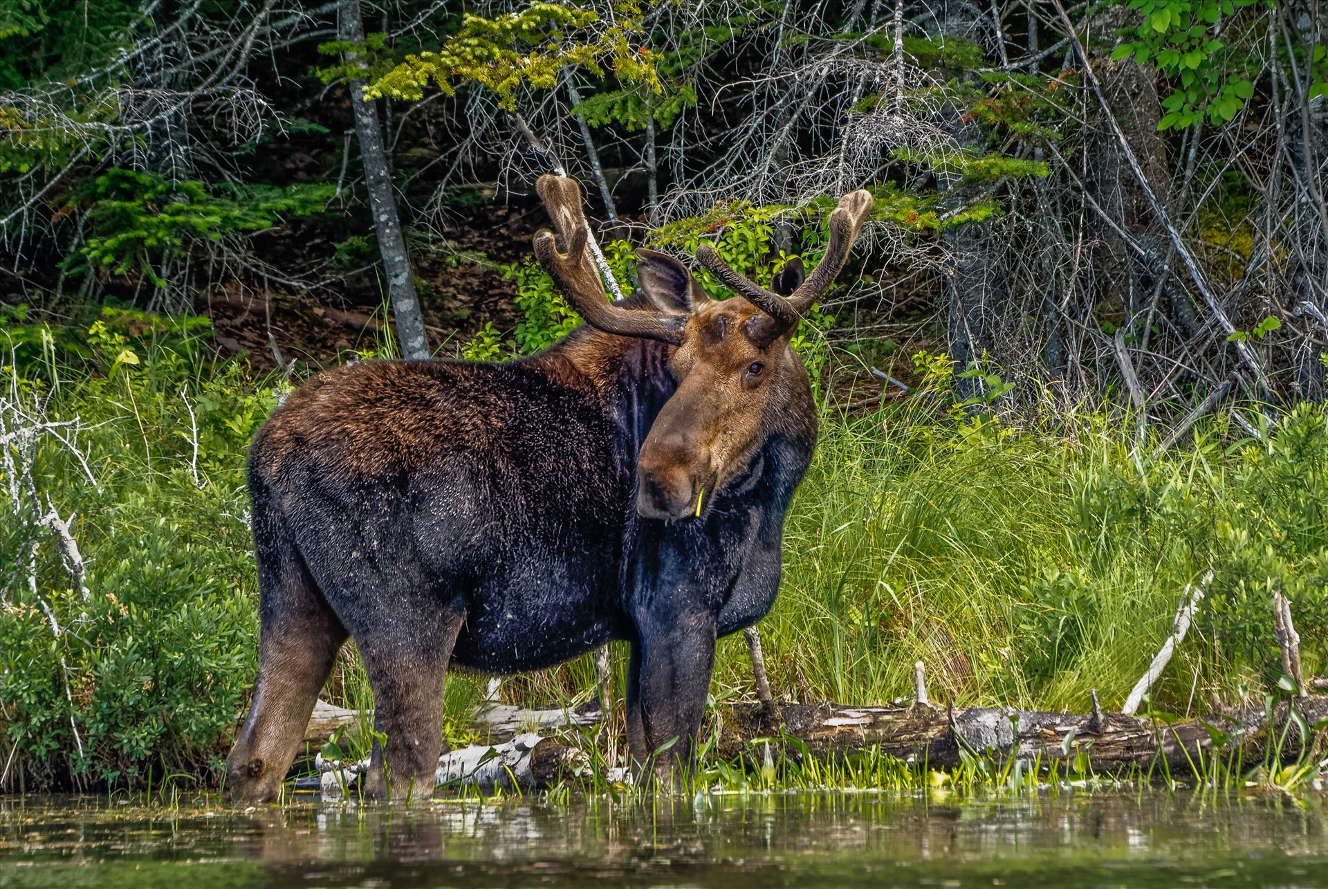 Bull Moose - Taken in June 2015 in Northern Maine, USA by Buckmaster