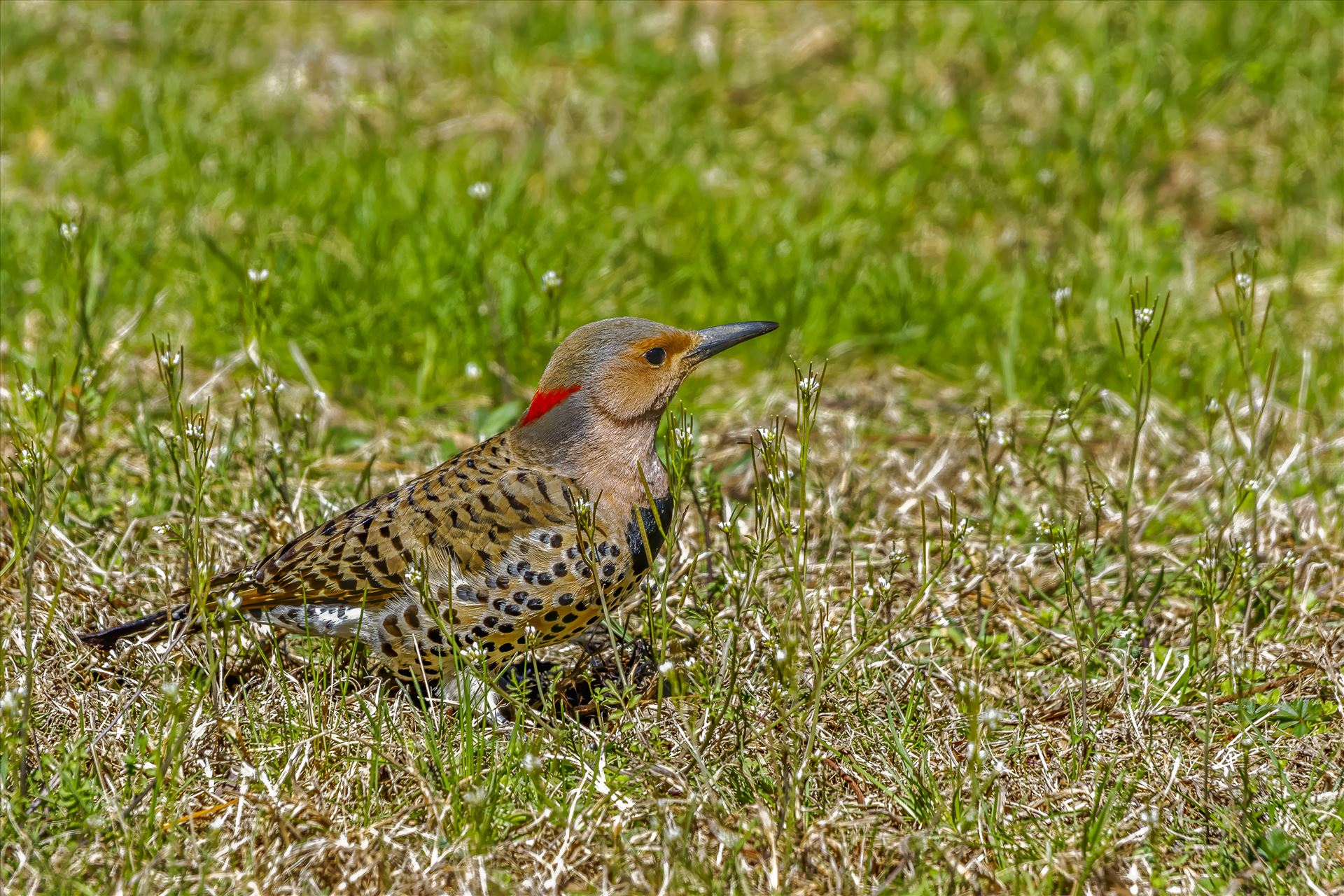 Grounded Northern Flicker - Ground Feeding by Buckmaster