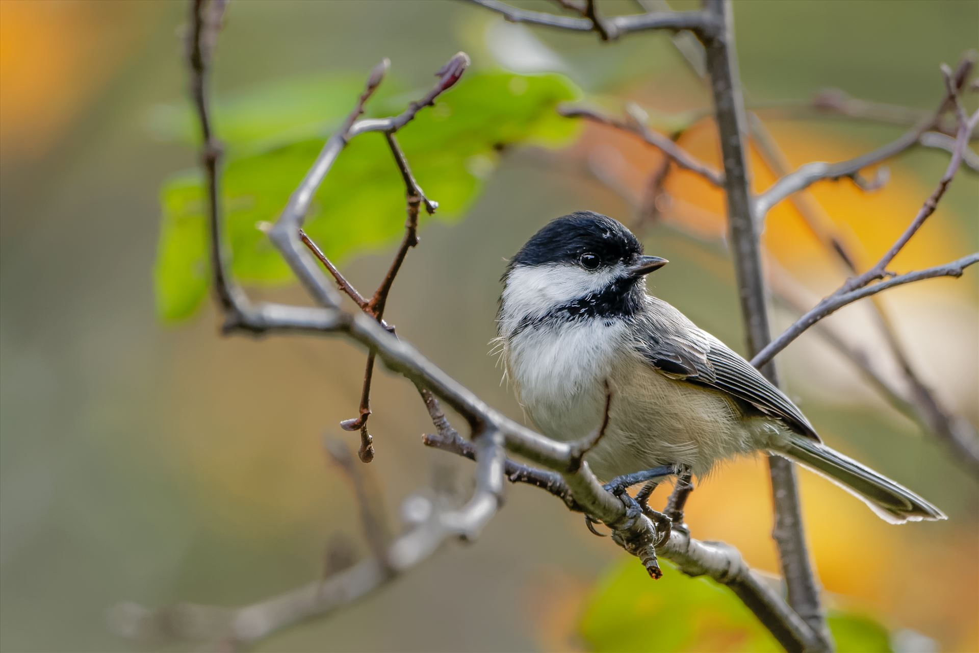 Black- Capped Chickadee - Photographed in October 2014 in Northern, Maine by Buckmaster