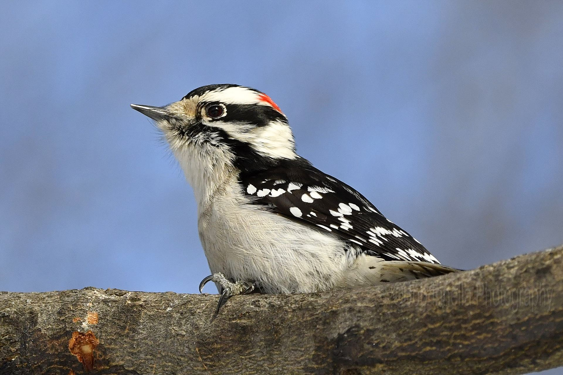 Male Downy Woodpecker2 - Male Downy Woodpecker in the Wilds Of Northeast Pa by Buckmaster