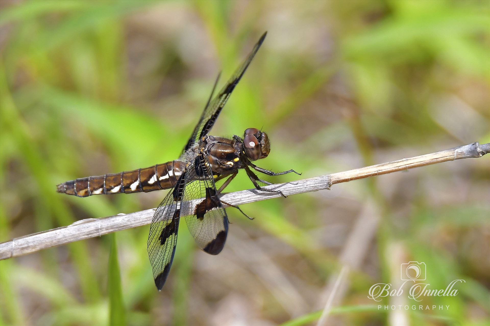 Dragon Fly - Taken in Montague, NJ by Buckmaster