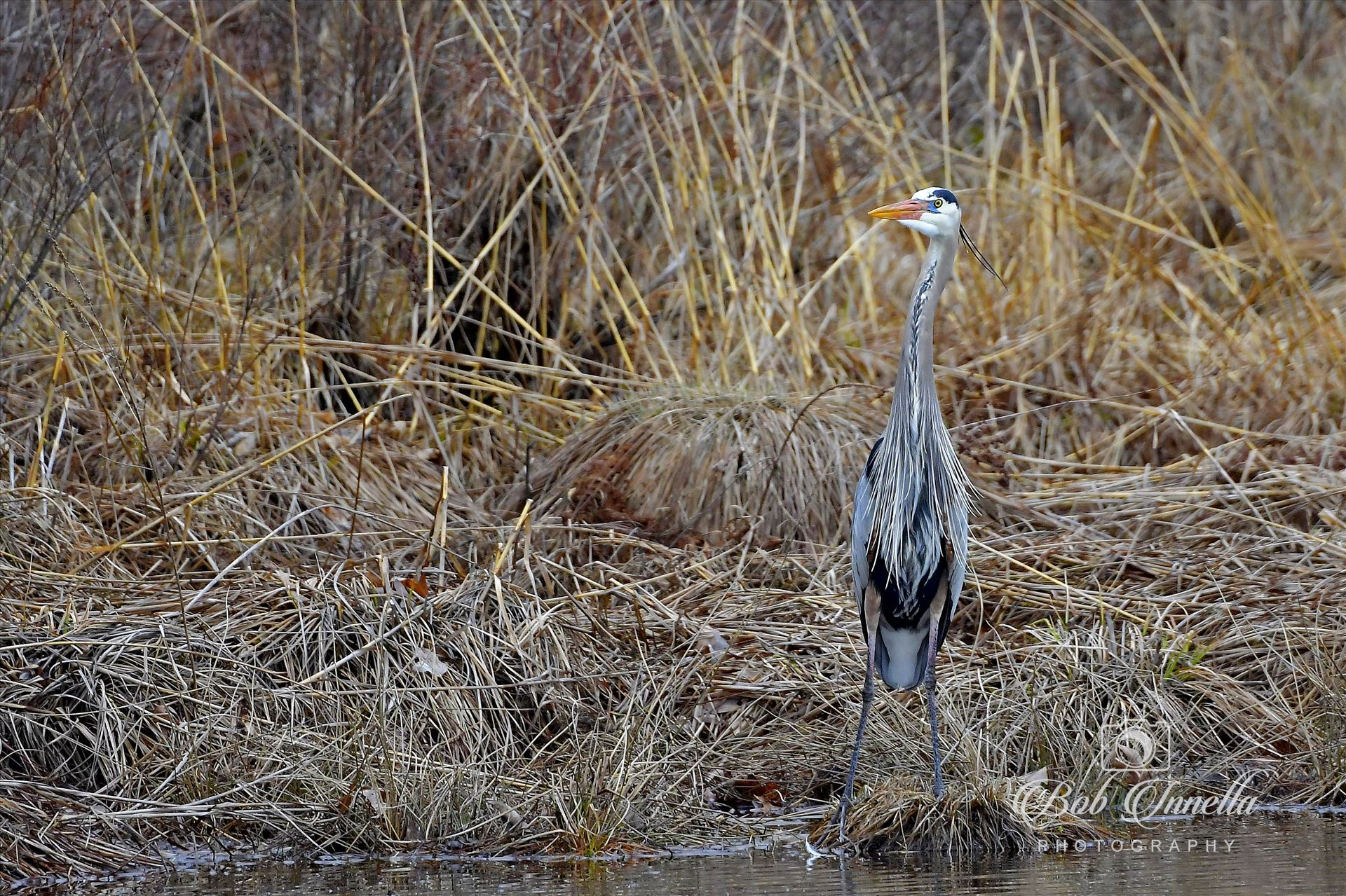 Great Blue Heron - High Point State Park by Buckmaster