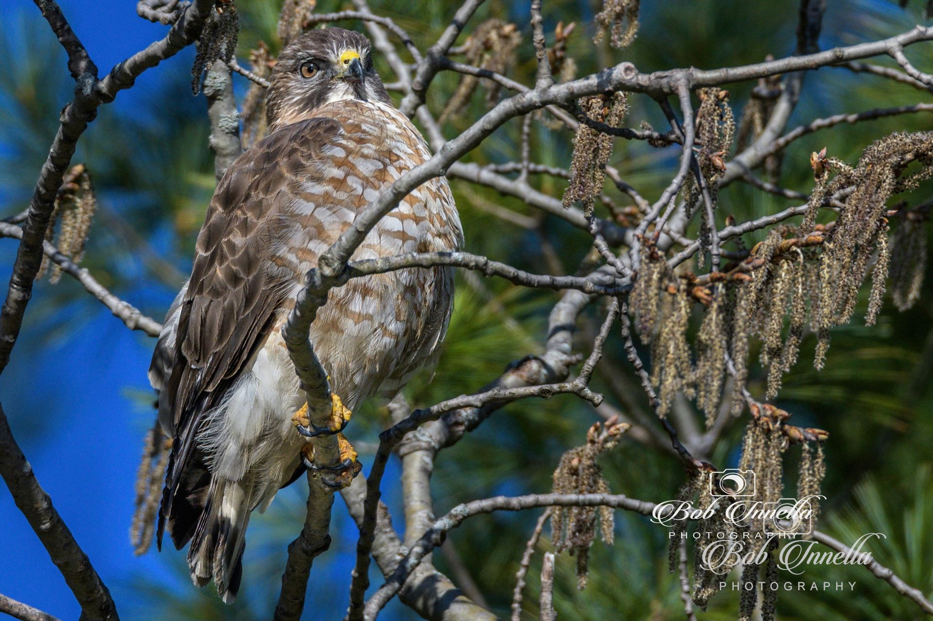 Hawk - Taken In The Wilds Of Pennsylvania by Buckmaster