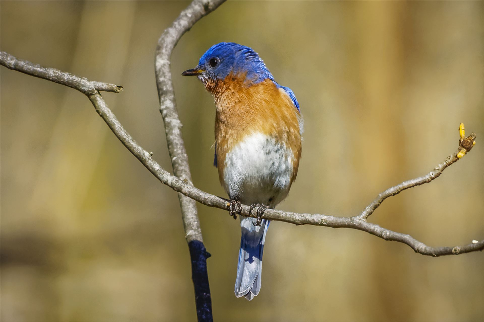 Eastern Bluebird - Male Eastern Bluebird by Buckmaster