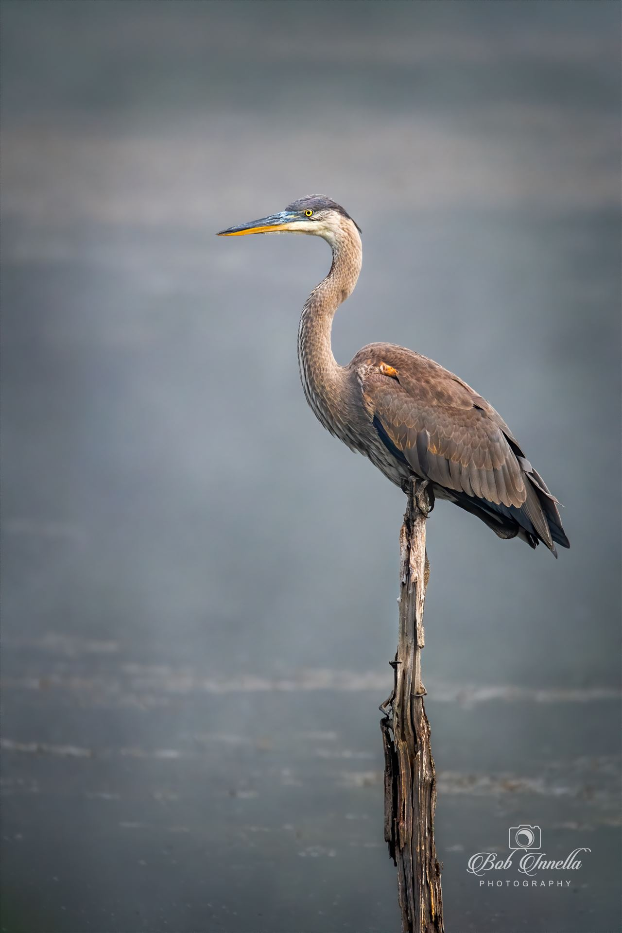 Great Blue Heron In Fog -  by Buckmaster
