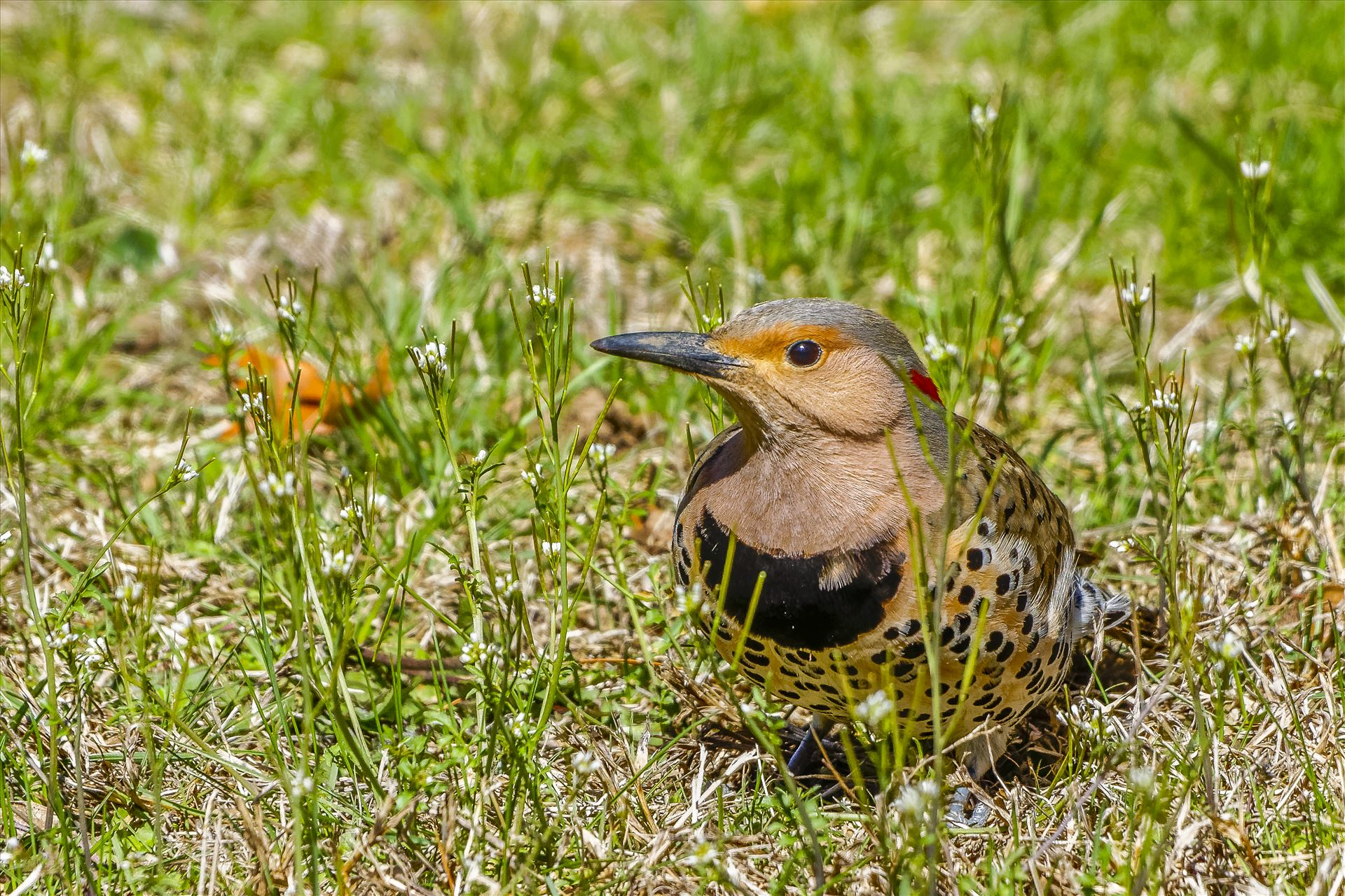 Grounded Northern Flicker - Flicker Feeding On Ground by Buckmaster