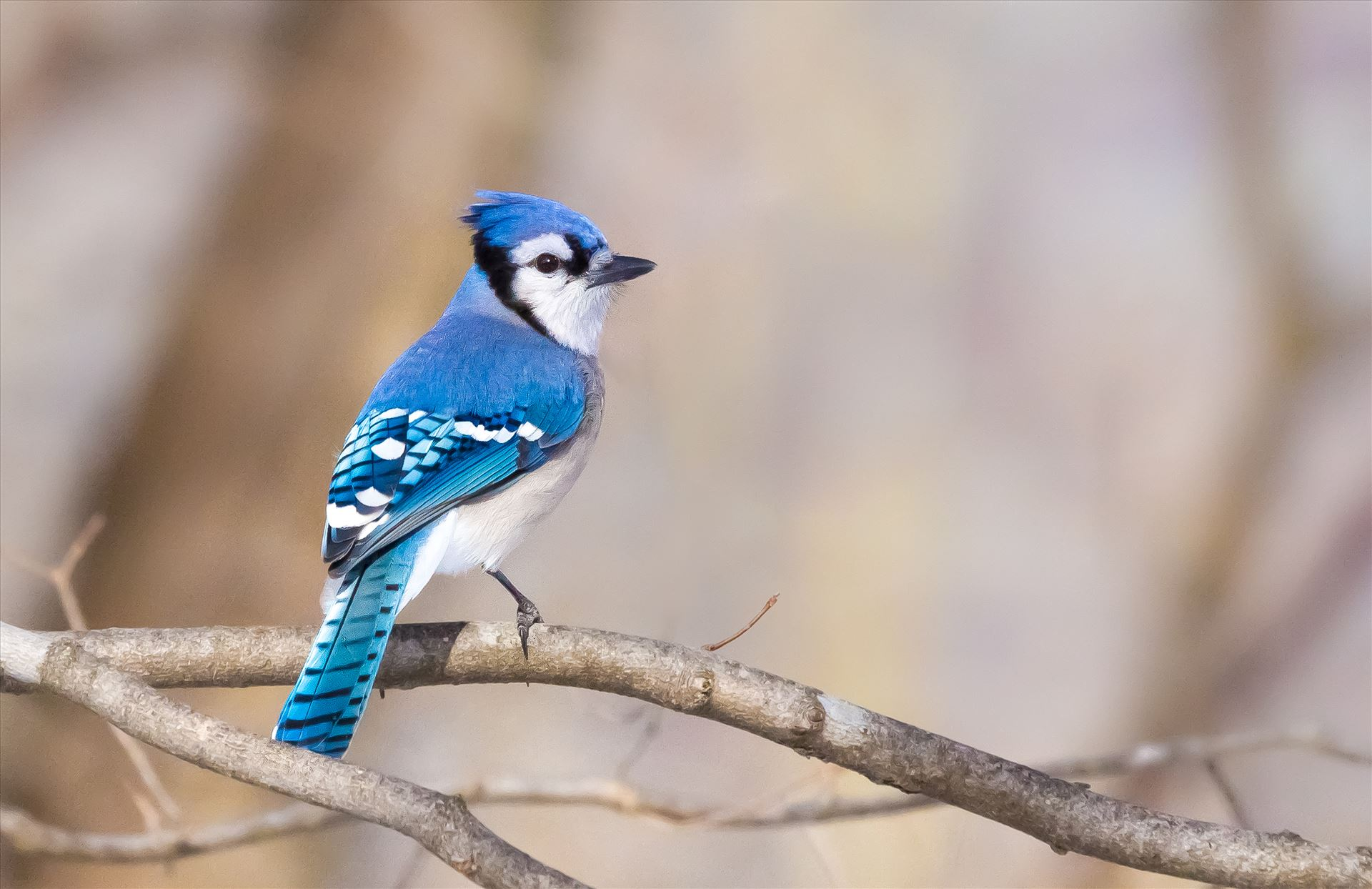 Blue Jay - Pennsylvania Blue Jay by Buckmaster